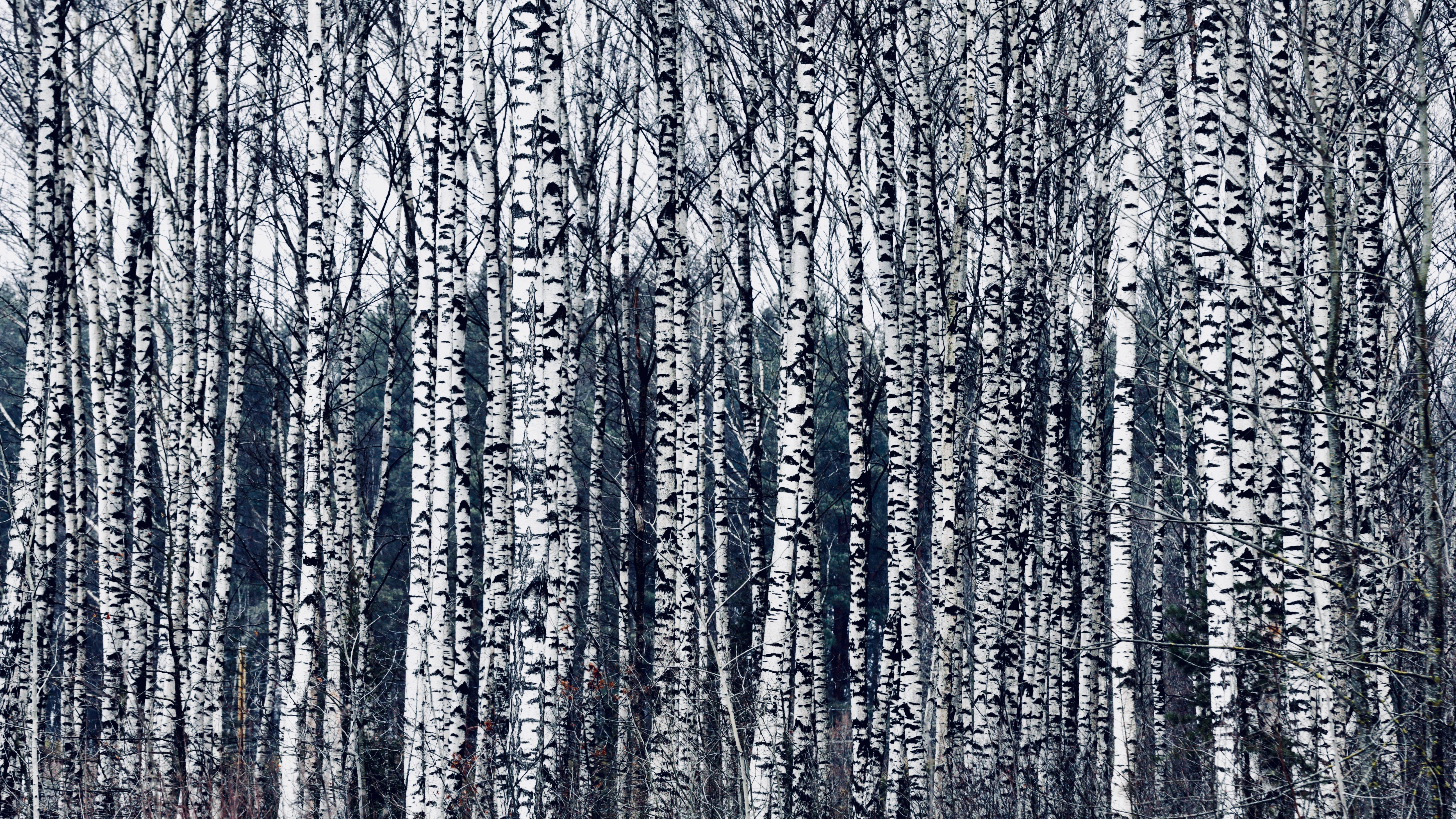 Birch trees in Latvia.