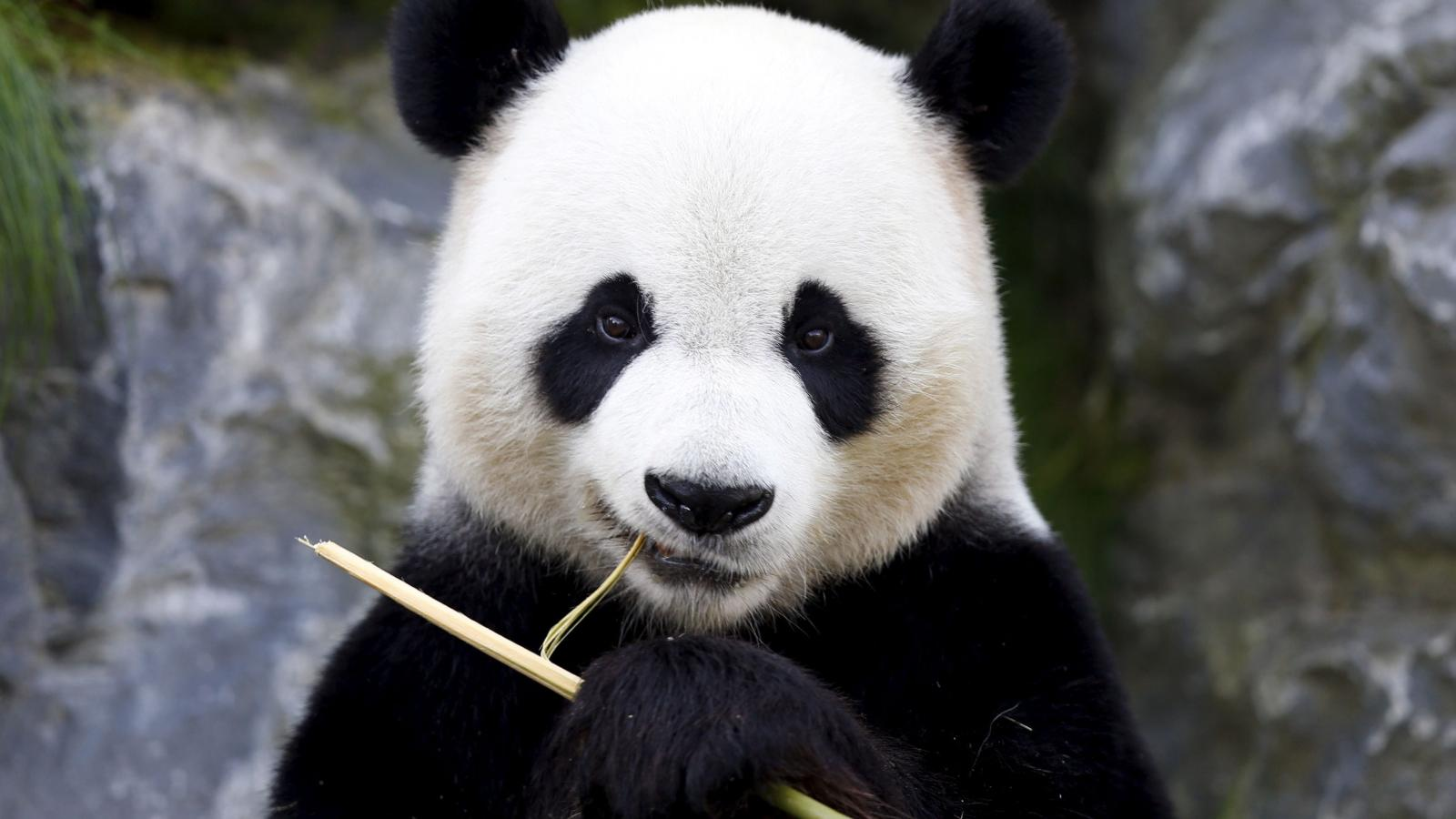 Scientists puzzled by pandas' black eye patches turning white — Quartz
