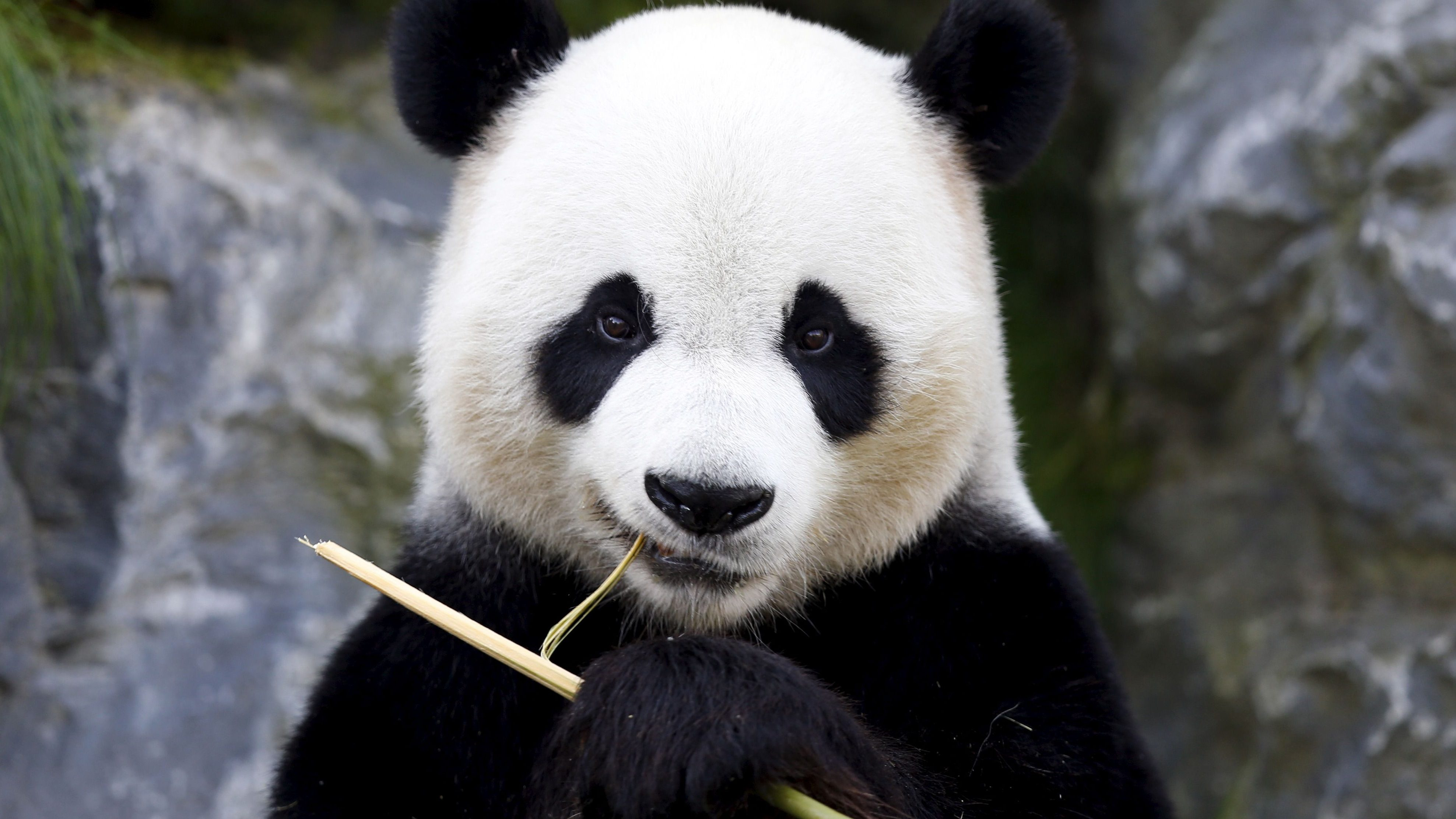 Xing Hui, a 6-year-old giant panda born in China, eats bamboo at the Pairi Daiza wildlife park in Brugelette, Belgium September 28, 2015.