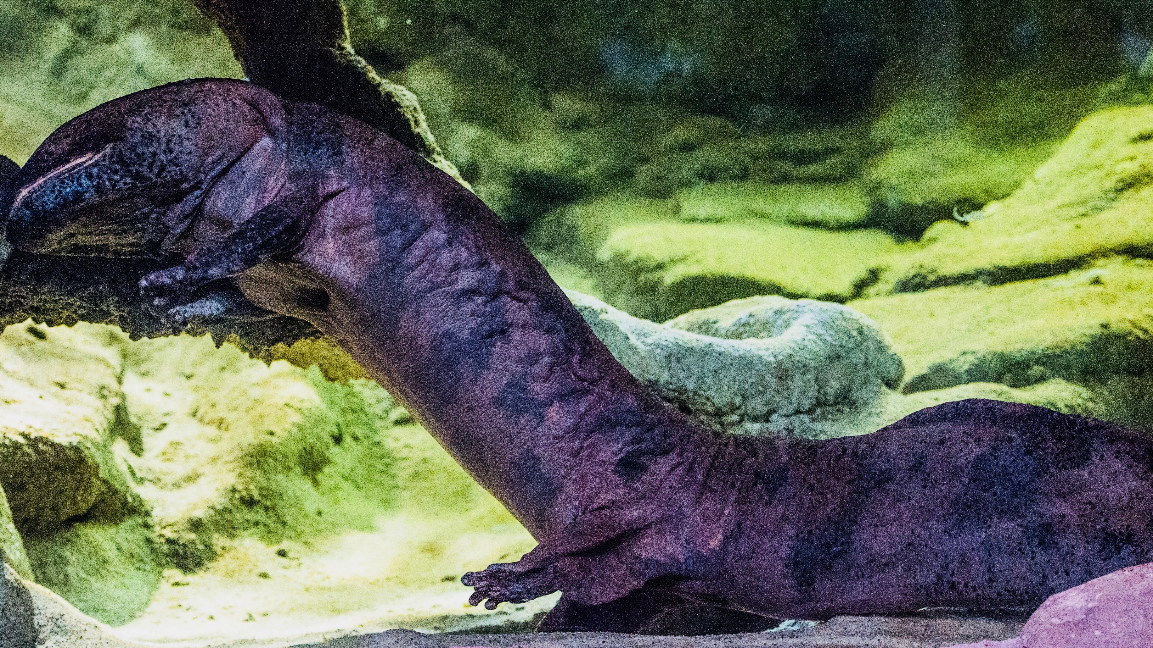 Chinese giant salamander.