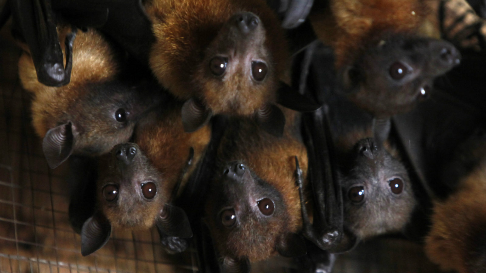 Grey-headed flying foxes reside in animal trainer Santisak Dulapitak's house in the outskirts of Bangkok September 10, 2009. Santisak, 53, has been training his animals to appear in advertisements and movies for more than two decades. The grey-headed flying fox, a type of fruit bat, is one of many animals Santisak trains. Picture taken September 10, 2009.