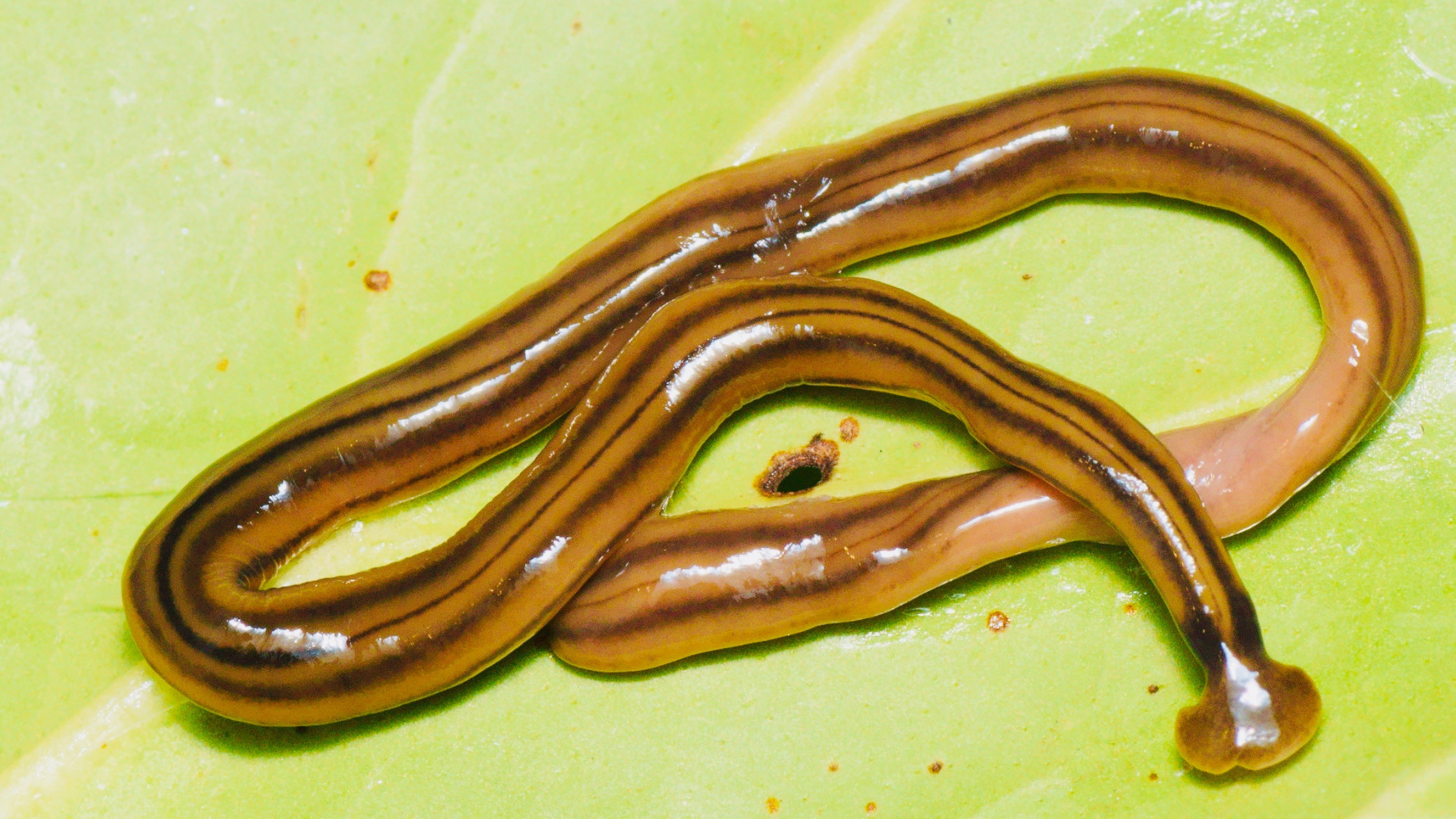 Large predatory worms invaded France, but scientists just noticed them