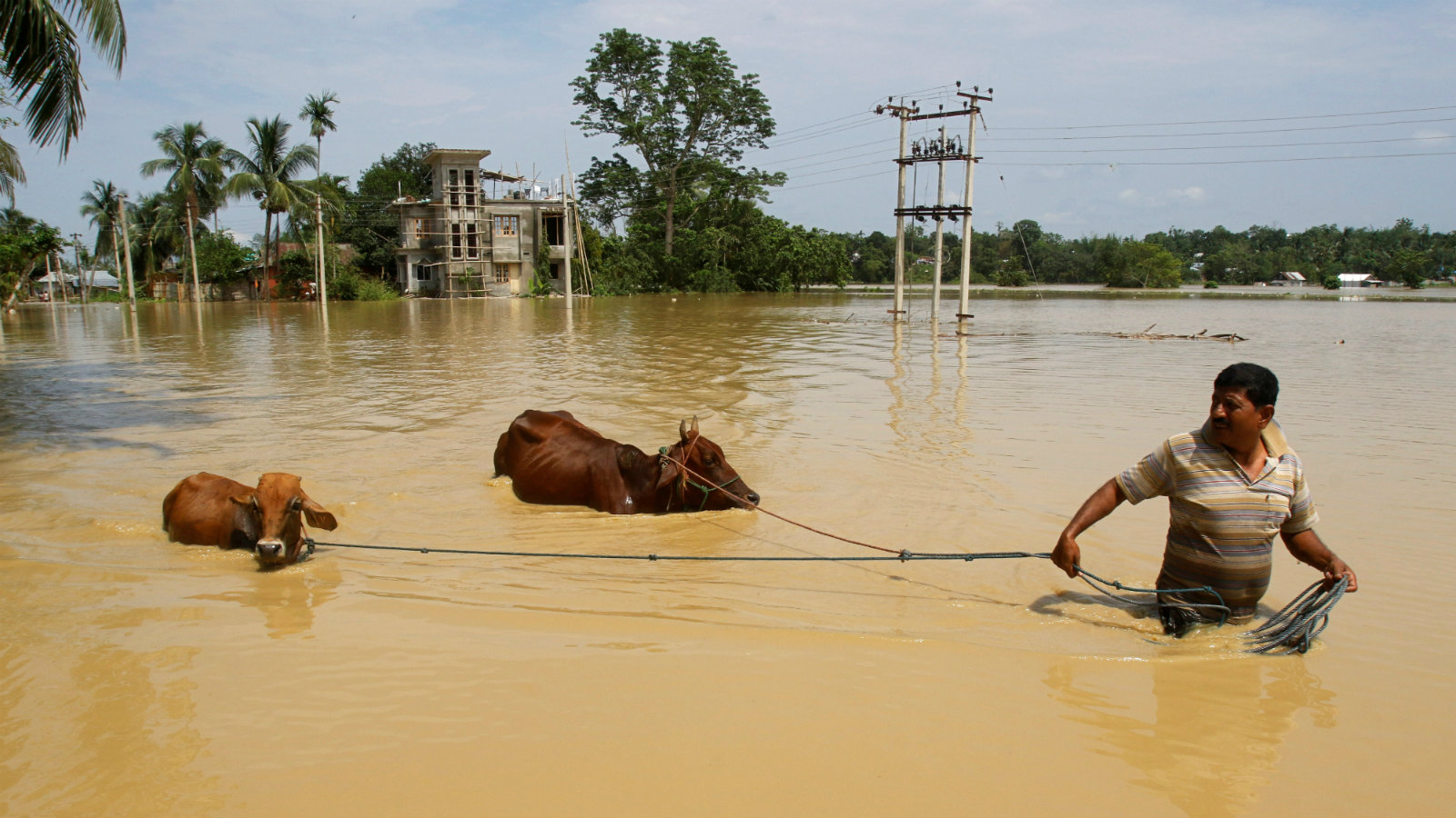 A man pulls his cows to a safer place through a flooded area after heavy rains at Baldakhal village on the outskirts of Agartala, India, May 20, 2018.
