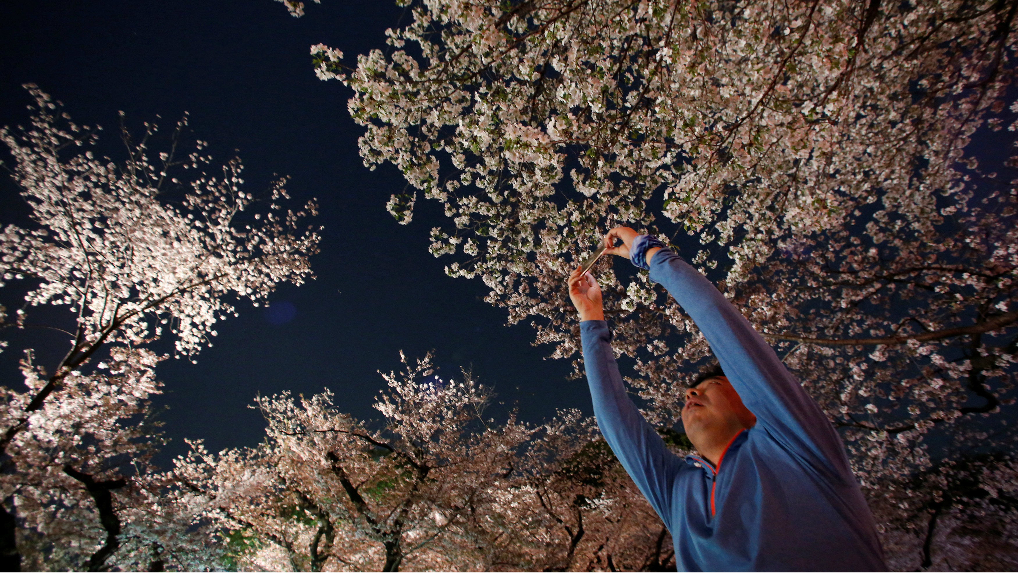 A person taking a picture of the cherry blossoms in Japan.