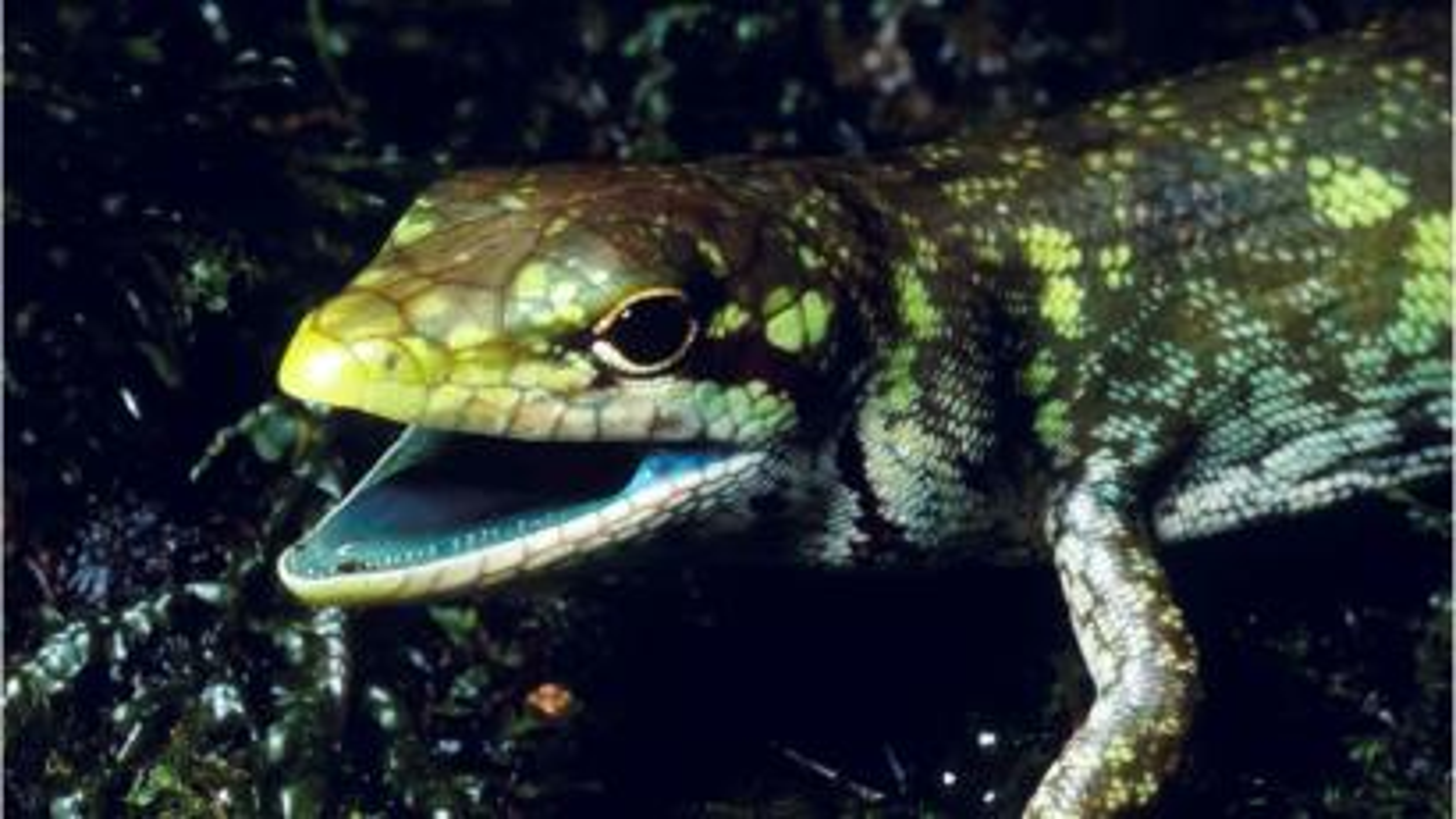 Green-blooded lizard.