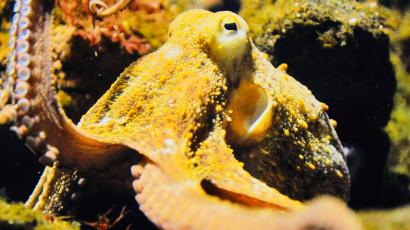 A controversial scientific study suggests octopuses came