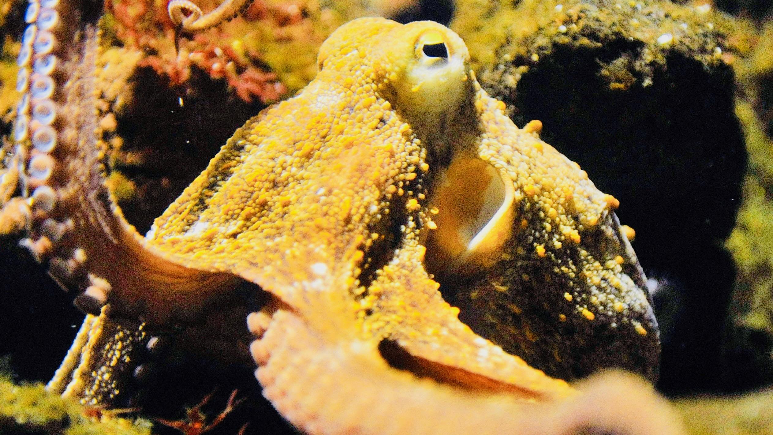 Octopus vulgaris in the Basel Zoo.