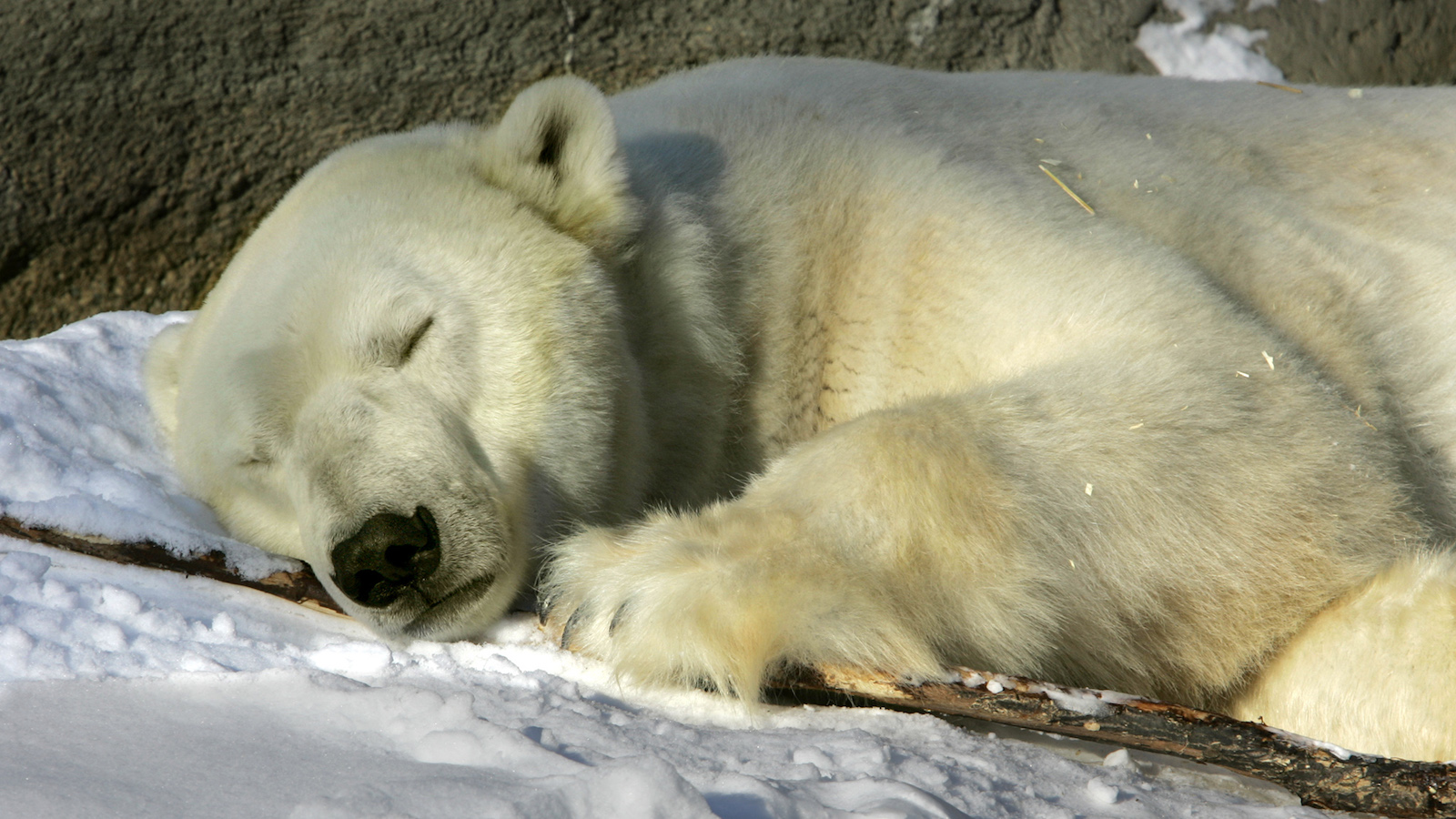 A Polar Bear sleeps on a bed of snow at the Cleveland Metroparks Zoo in Cleveland, Ohio Wednesday, Dec. 7, 2005. (AP Photo/Amy Sancetta)