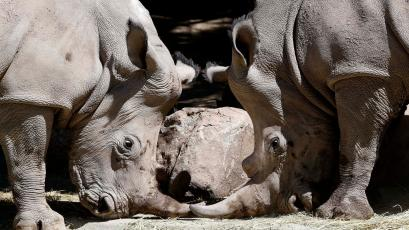 Oliver and Hanna, one-and-a-half year-old white rhinoceros, are pictured at a zoo in Santiago, October 4, 2013. The rhinos were brought from South Africa and will be displayed to the public from Saturday. REUTERS/Ivan Alvarado (CHILE - Tags: ANIMALS) - GM1E9A5088101