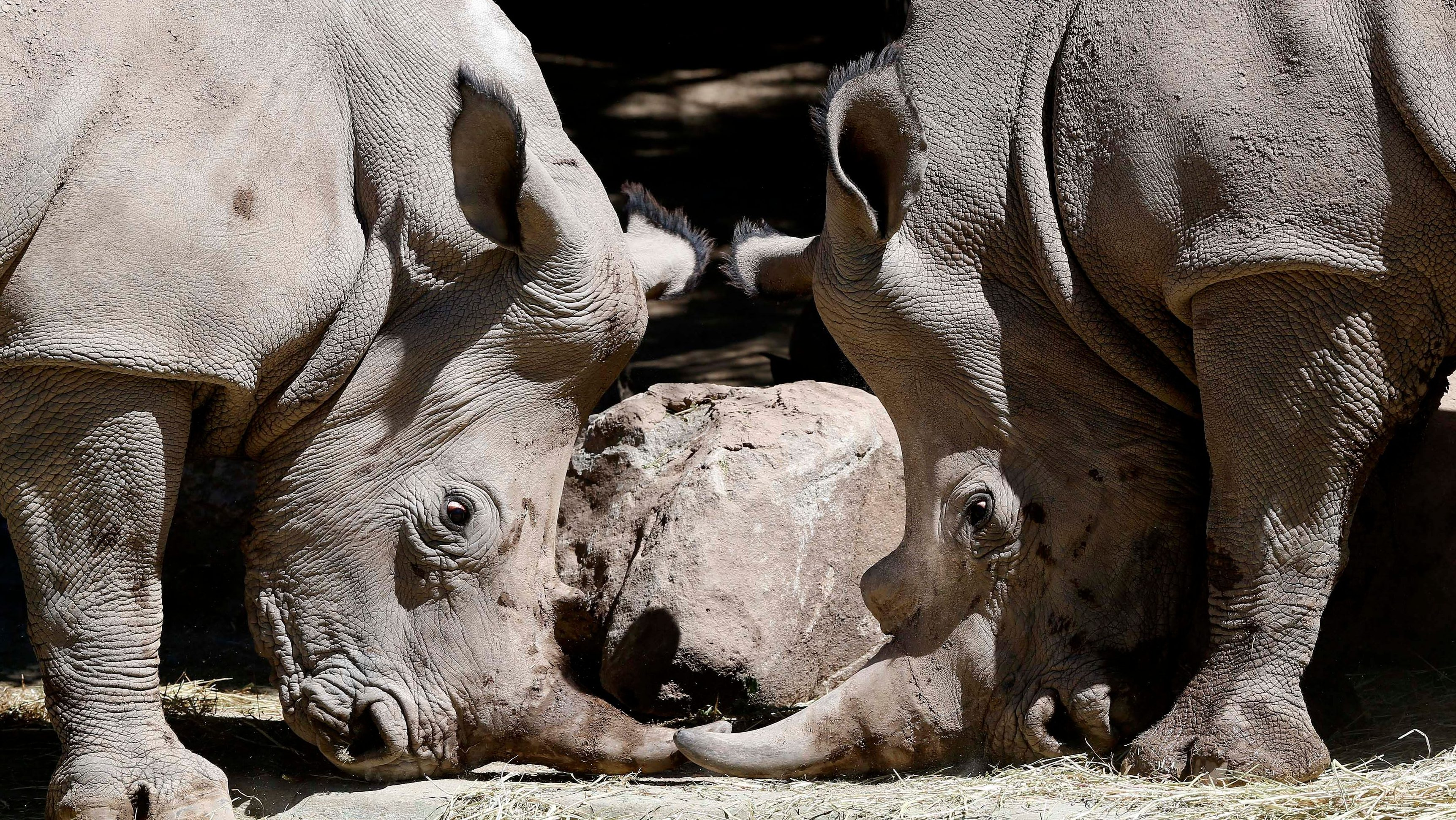 Oliver and Hanna, one-and-a-half year-old white rhinoceros, are pictured at a zoo in Santiago, October 4, 2013. The rhinos were brought from South Africa and will be displayed to the public from Saturday.