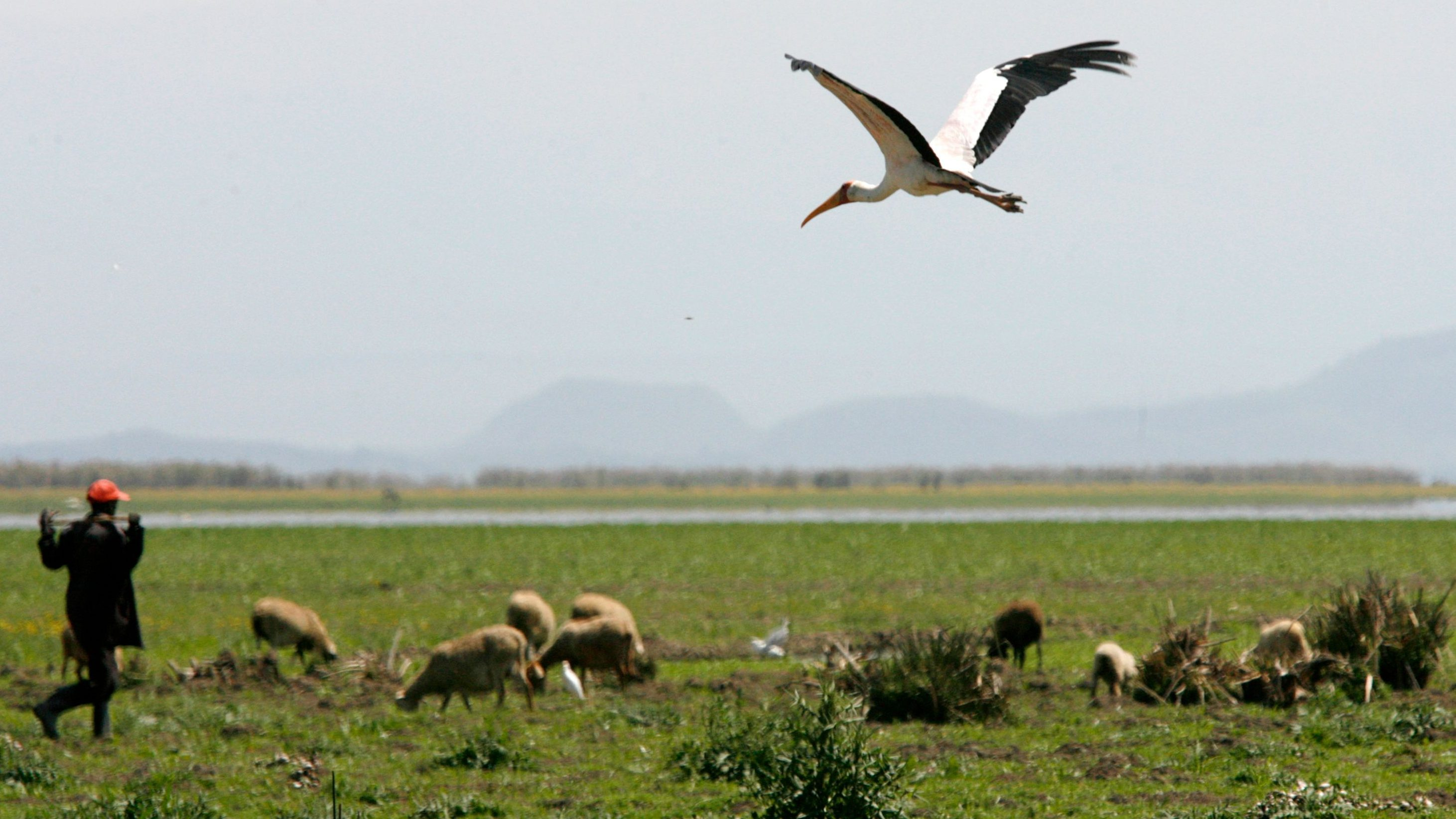 A bird flies over Lake Naivasha, the only fresh water ecosystem in the eastern Rift Valley