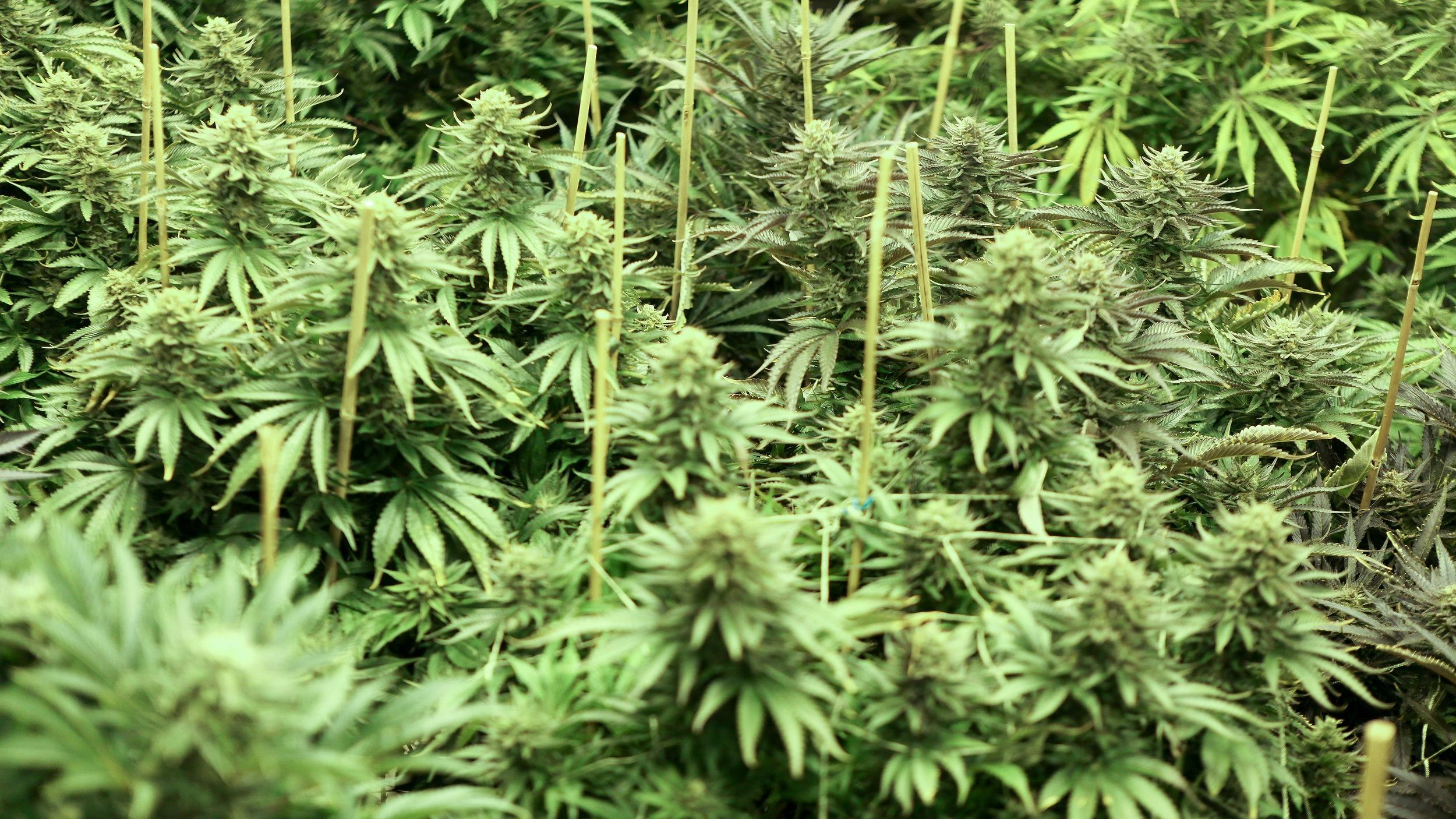Cannabis plants that will soon be harvested grow at Northwest Patient Resource Center in Seattle