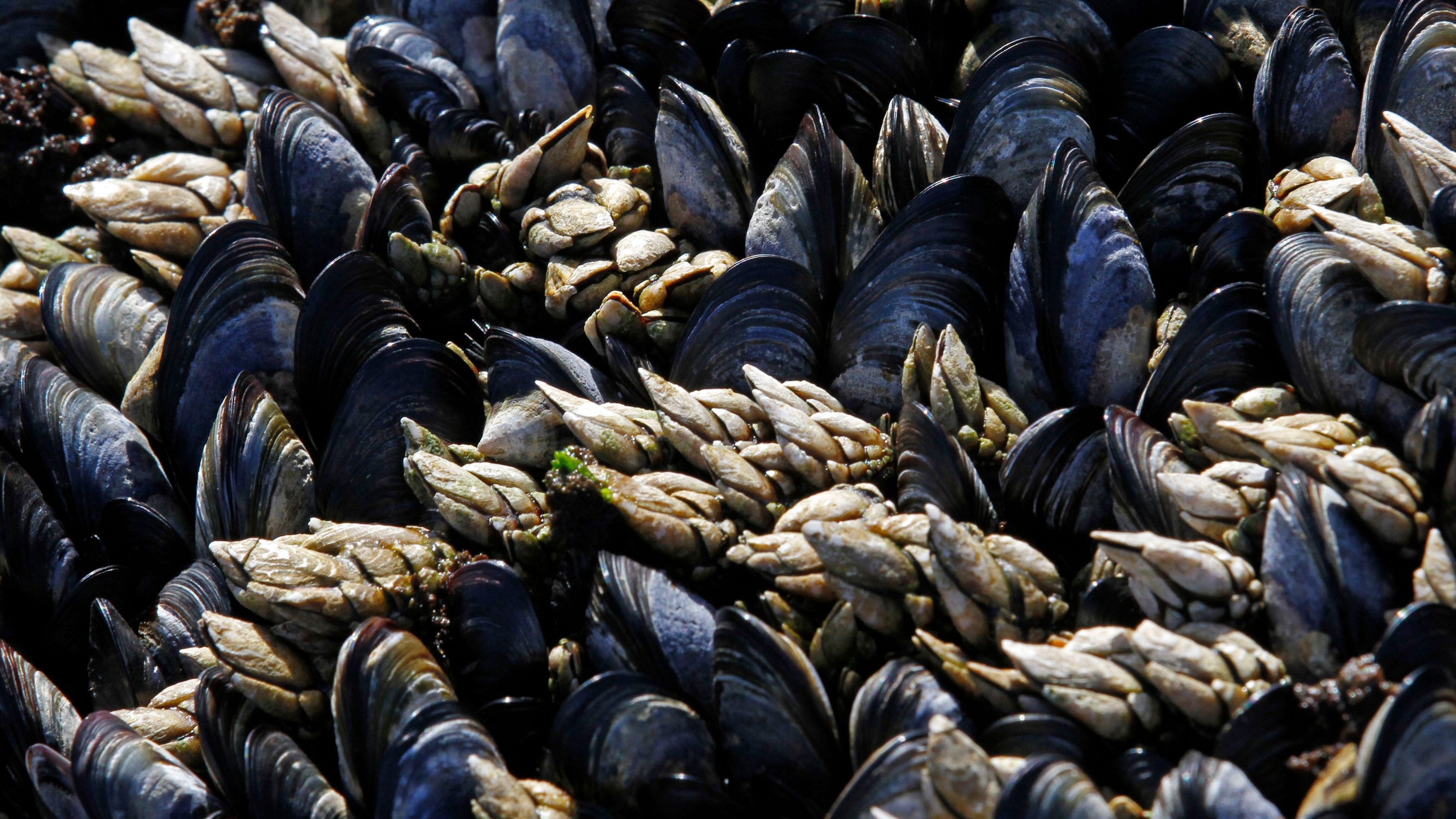 Goose barnacles (white) are seen with mussels on a seaside cliff in Ericeira, 50 km (31 miles) north of Lisbon, June 20, 2012.
