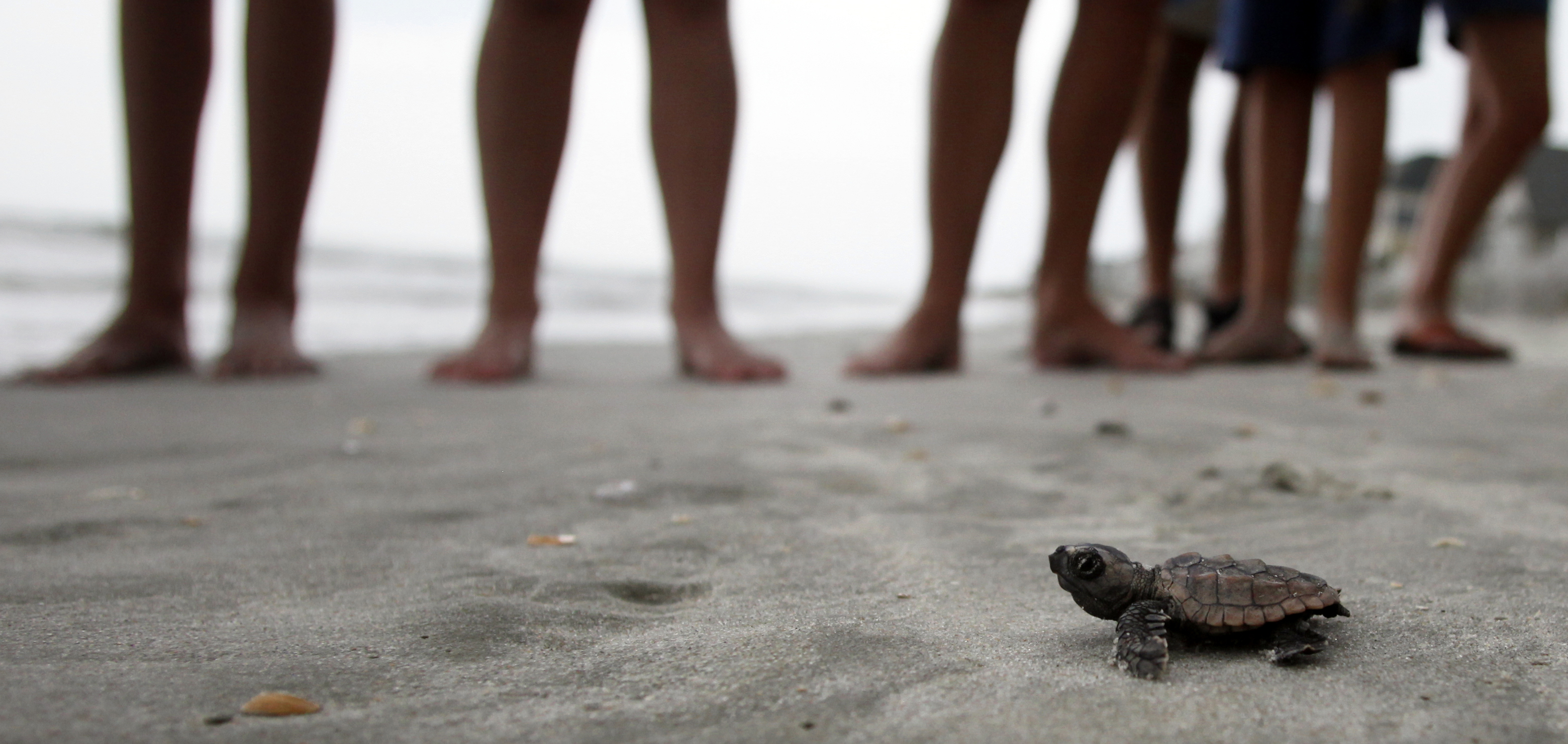 A loggerhead turtle hatchling makes its way to the surf at South Litchfield Beach along the coast of South Carolina.