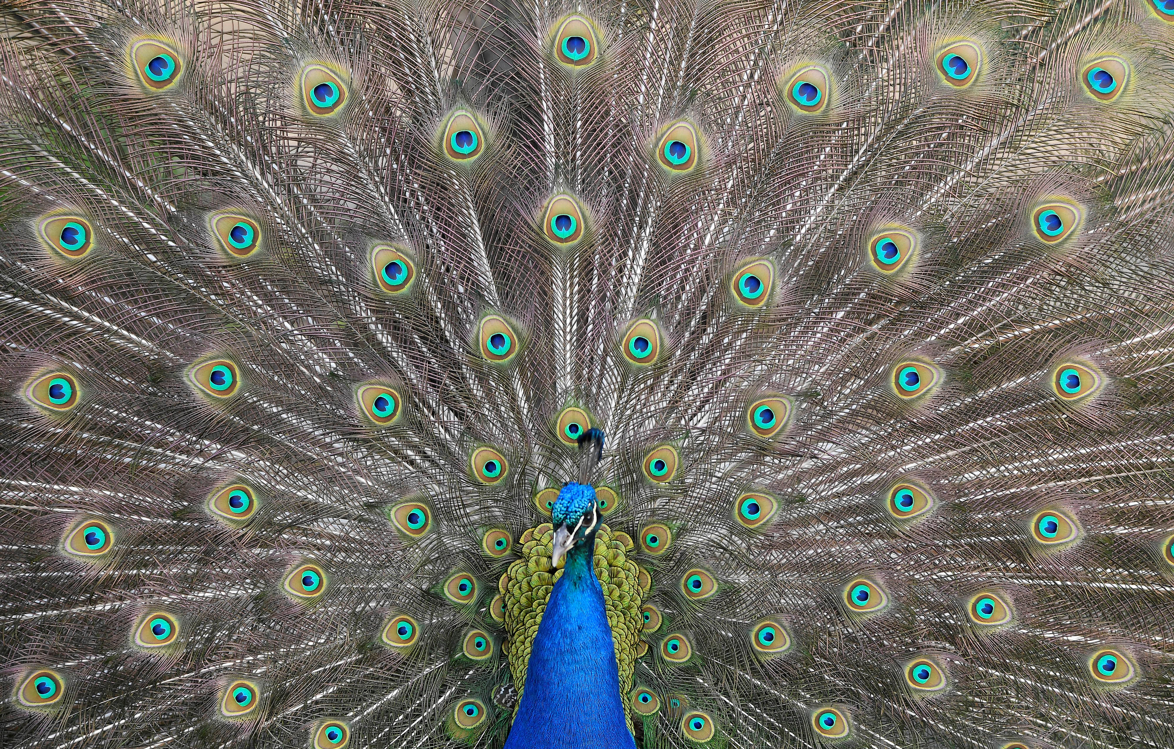 A peacock displays his plumage as part of a courtship ritual to attract a mate, at a park in London, Britain, May 4, 2018. REUTERS/Toby Melville - RC14F4F1FE00