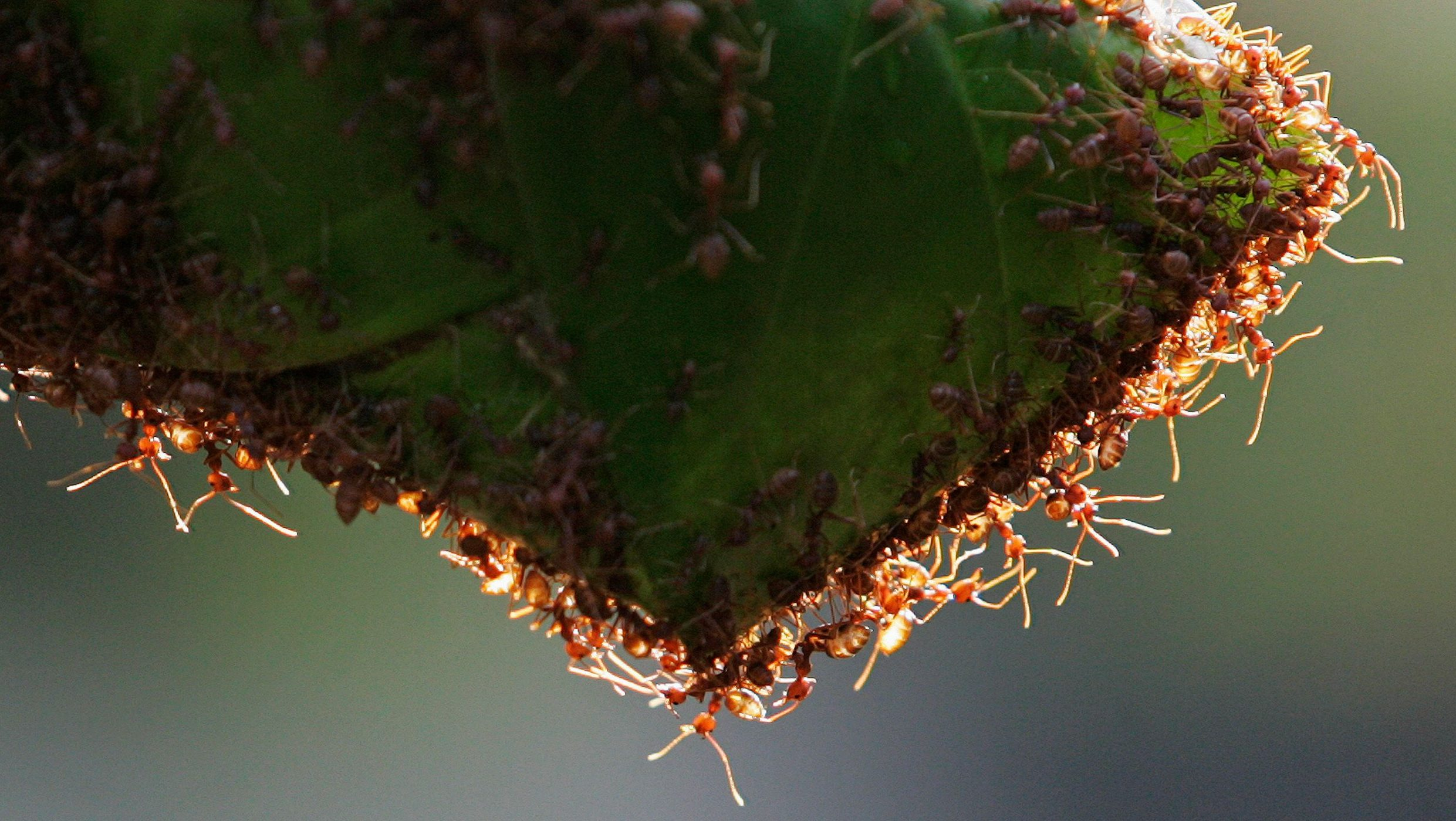 A colony of weaver ants build their nest from leaves in Kuala Lumpur January 31, 2009. Weaver ants get their name from their habit of binding fresh leaves with silk to form their nests. Their lifecycle spans a period of 8 to 10 weeks.