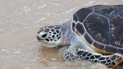 The enduring turtle offers clues as to dinosaur DNA.
