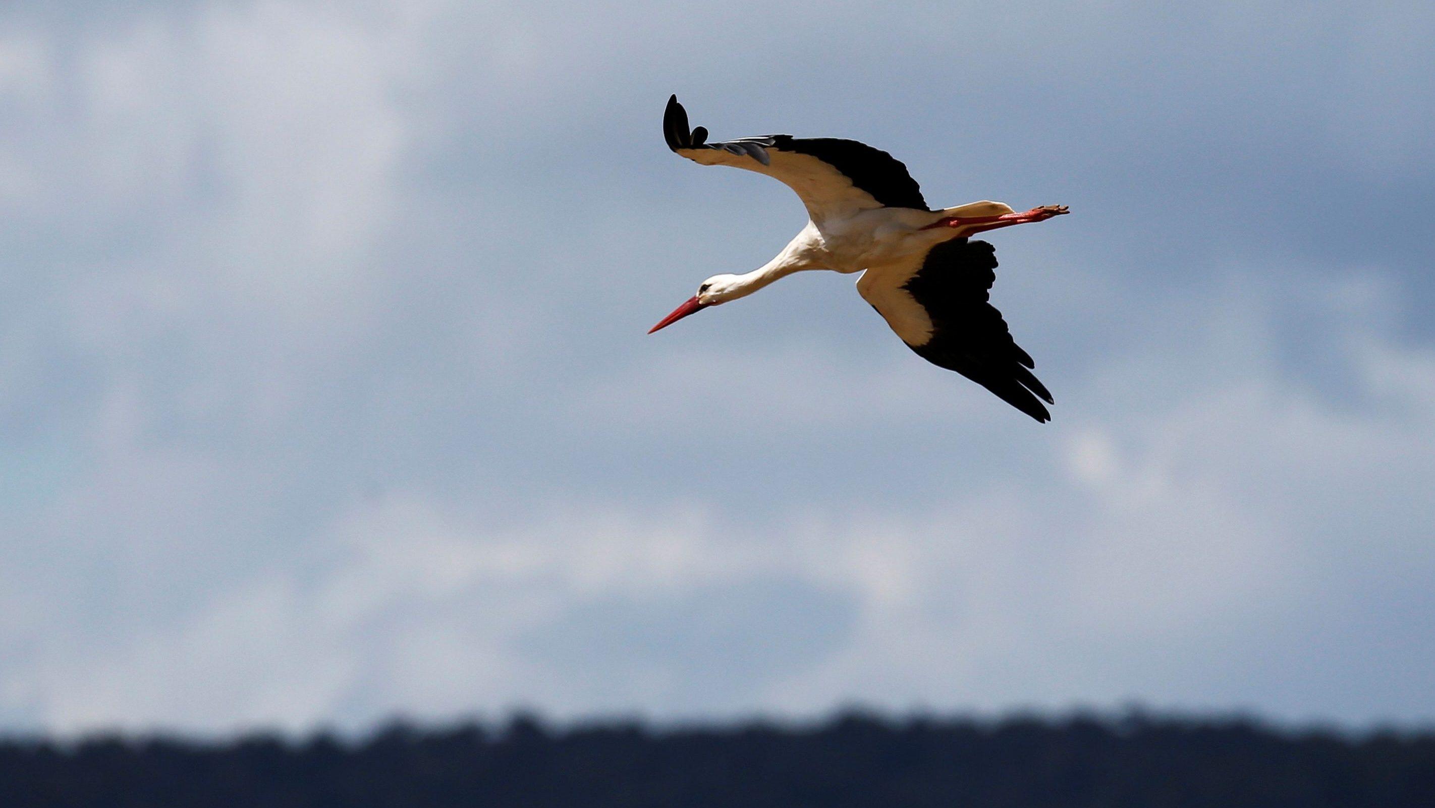 A white stork flies near Don Benito, Spain, April 13, 2016. REUTERS/Paul Hanna - D1AESYMPYOAA