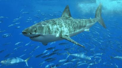 what is the white shark cafe and why are hundreds of great white