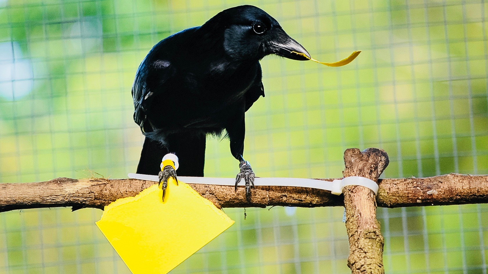 Meet the designer, a New Caledonian crow.