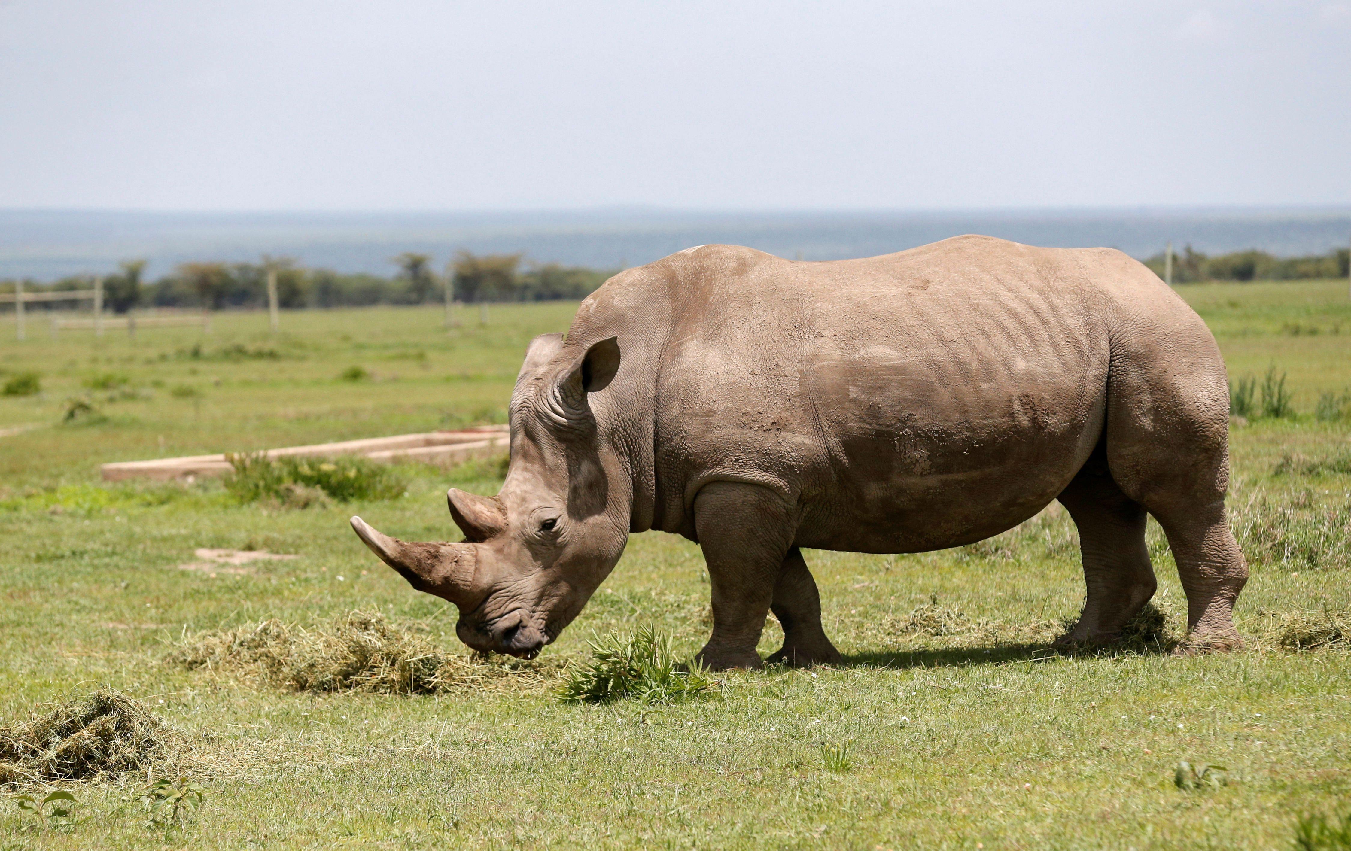 Ndauwo, a female southern white rhino grazes near the enclosure at the Ol Pejeta Conservancy in Laikipia National Park, Kenya March 31, 2018. REUTERS/Thomas Mukoya - RC142B7FFA00