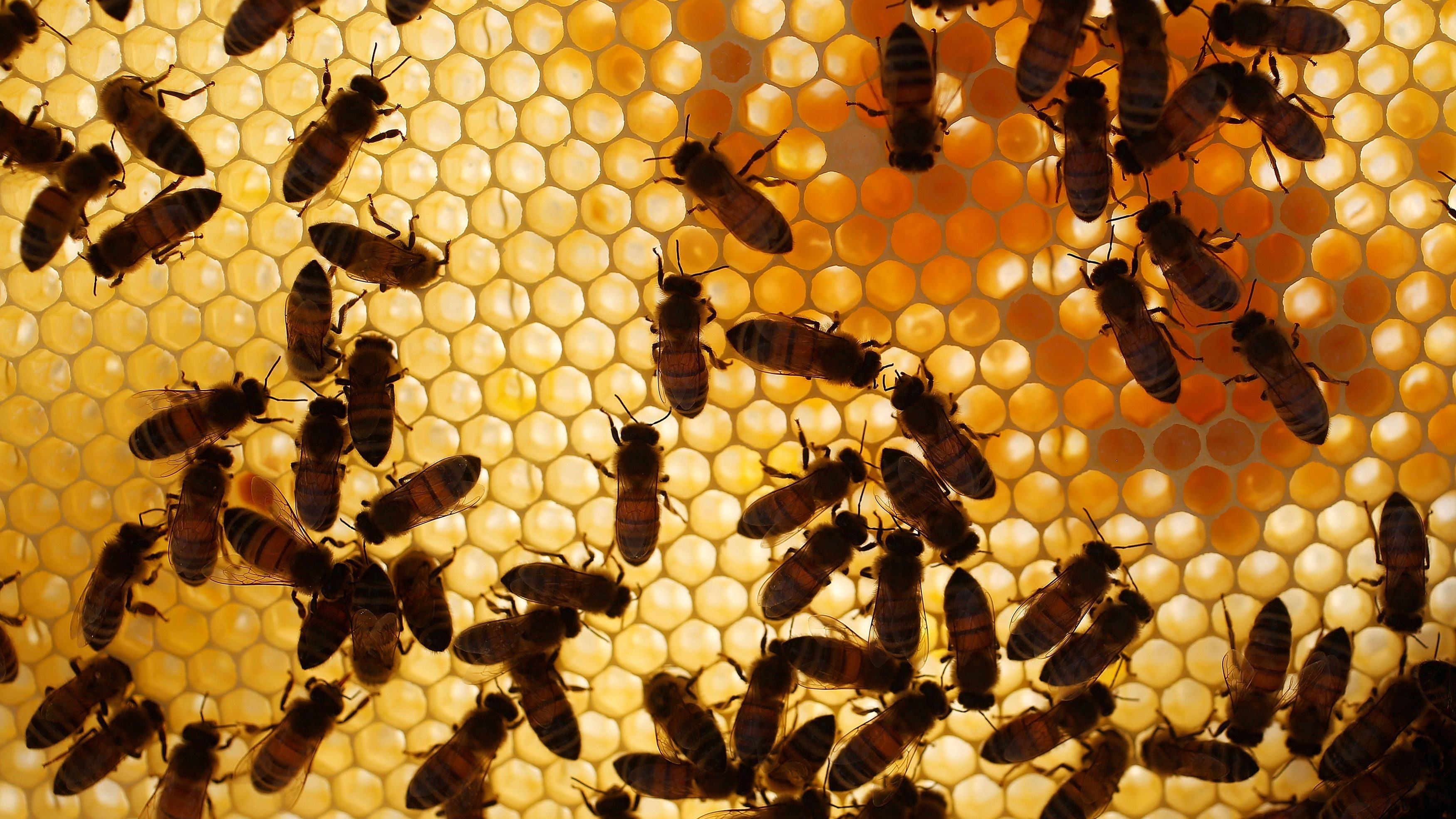 Bees are seen on a frame from a beehive in Hoerdt near Strasbourg.