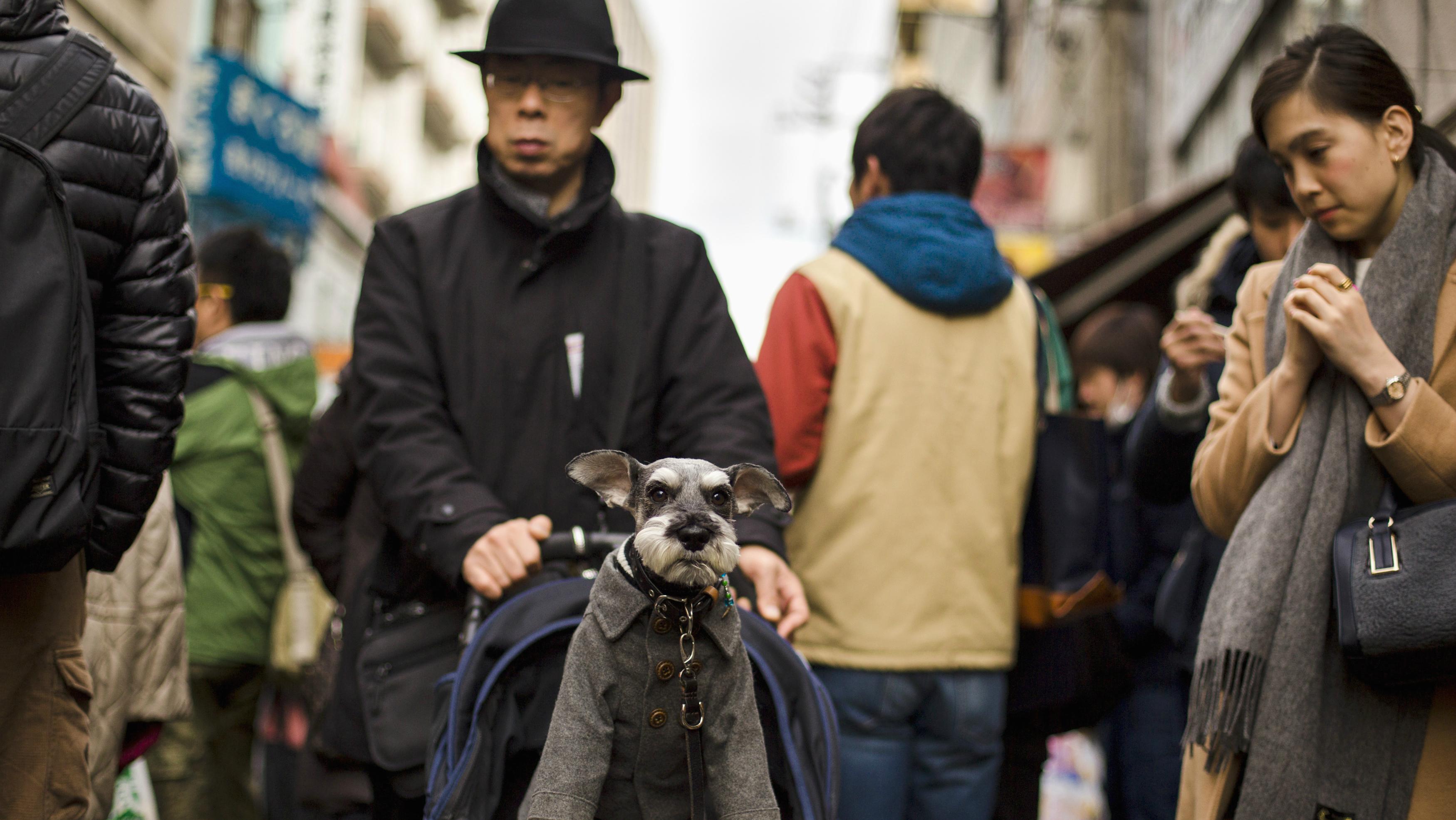 A Japanese man walking a dog in a stroller