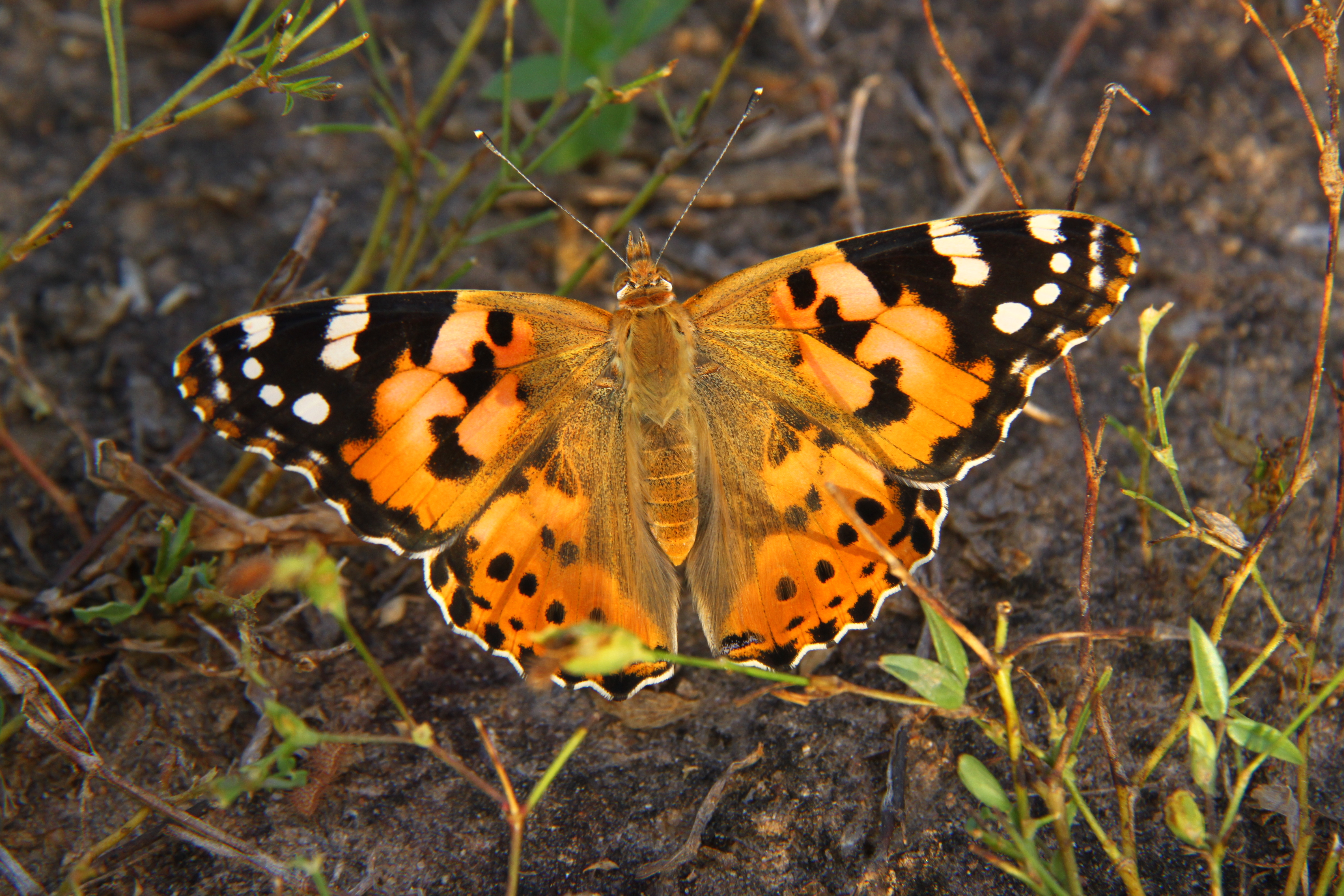 The Painted Lady in all her glory.