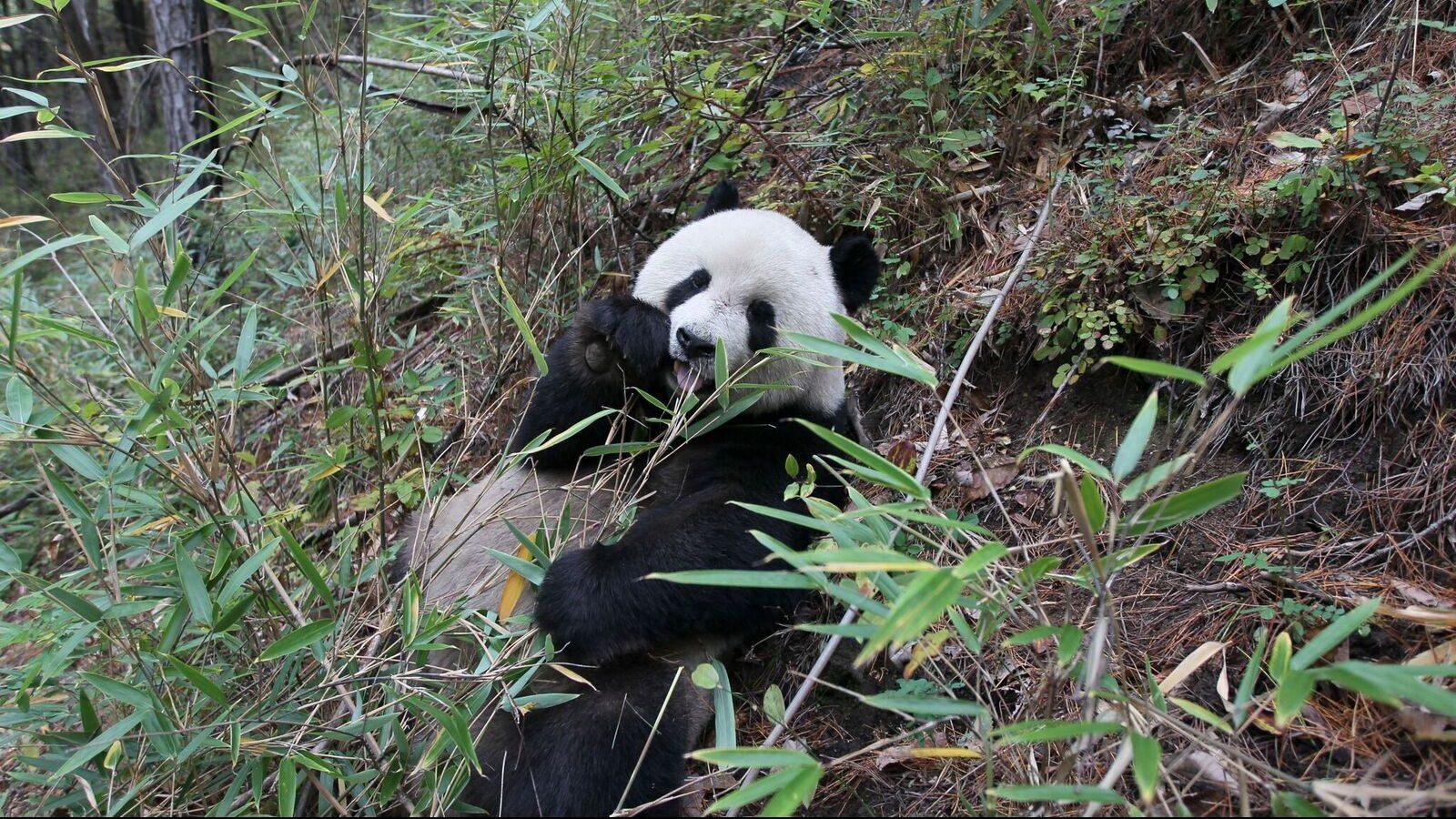 A panda eating in his natural habitat.