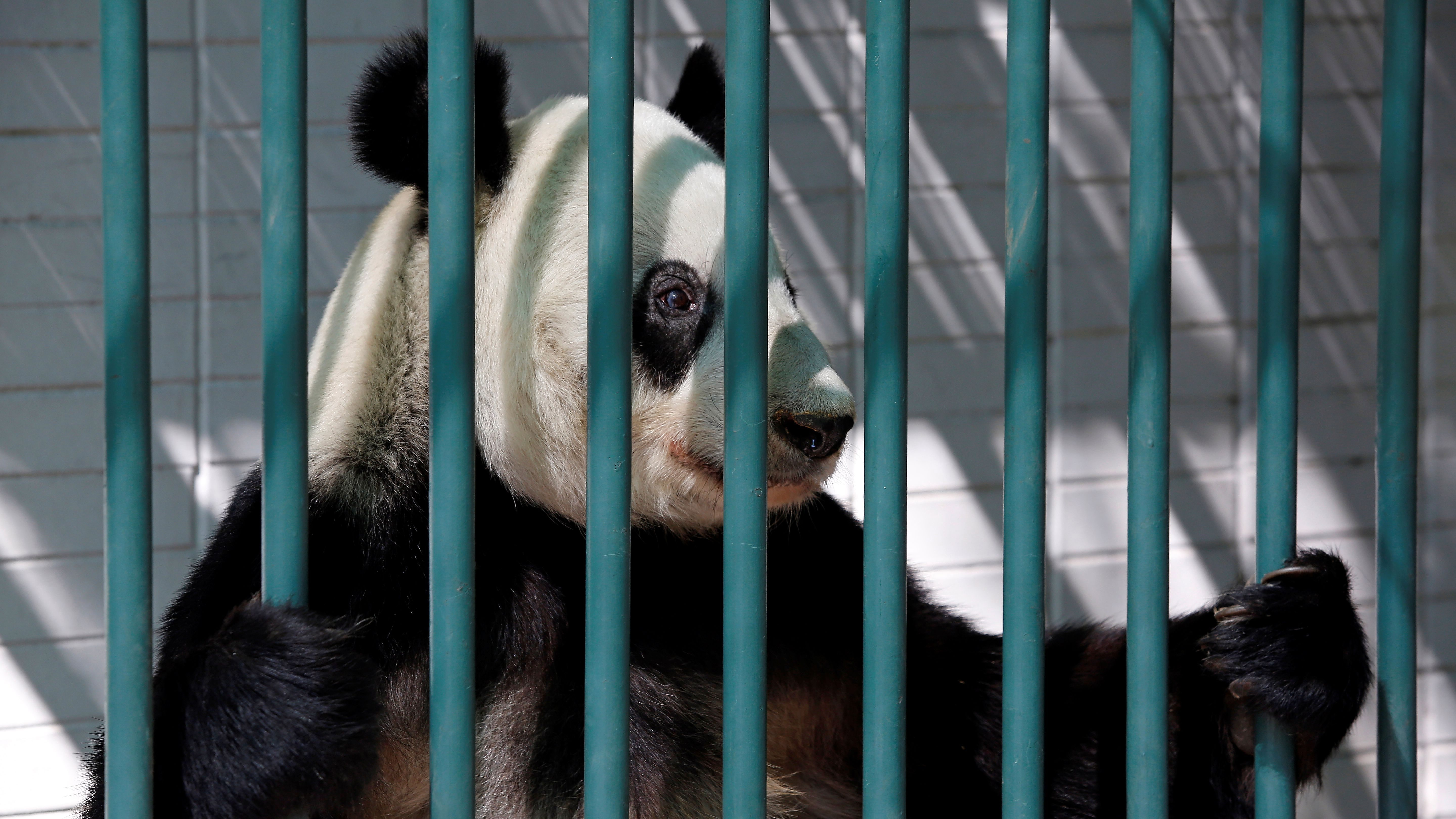 Xin Xin, a female giant panda, is pictured inside her enclosure at Chapultepec zoo in Mexico City, Mexico May 25, 2018.