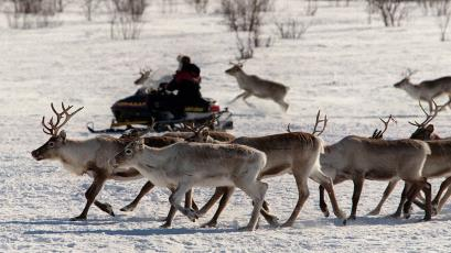 Reindeers are herded by a Sami person riding a snow scooter on the Hardangervidda plain near Kautokeino in northern Norway