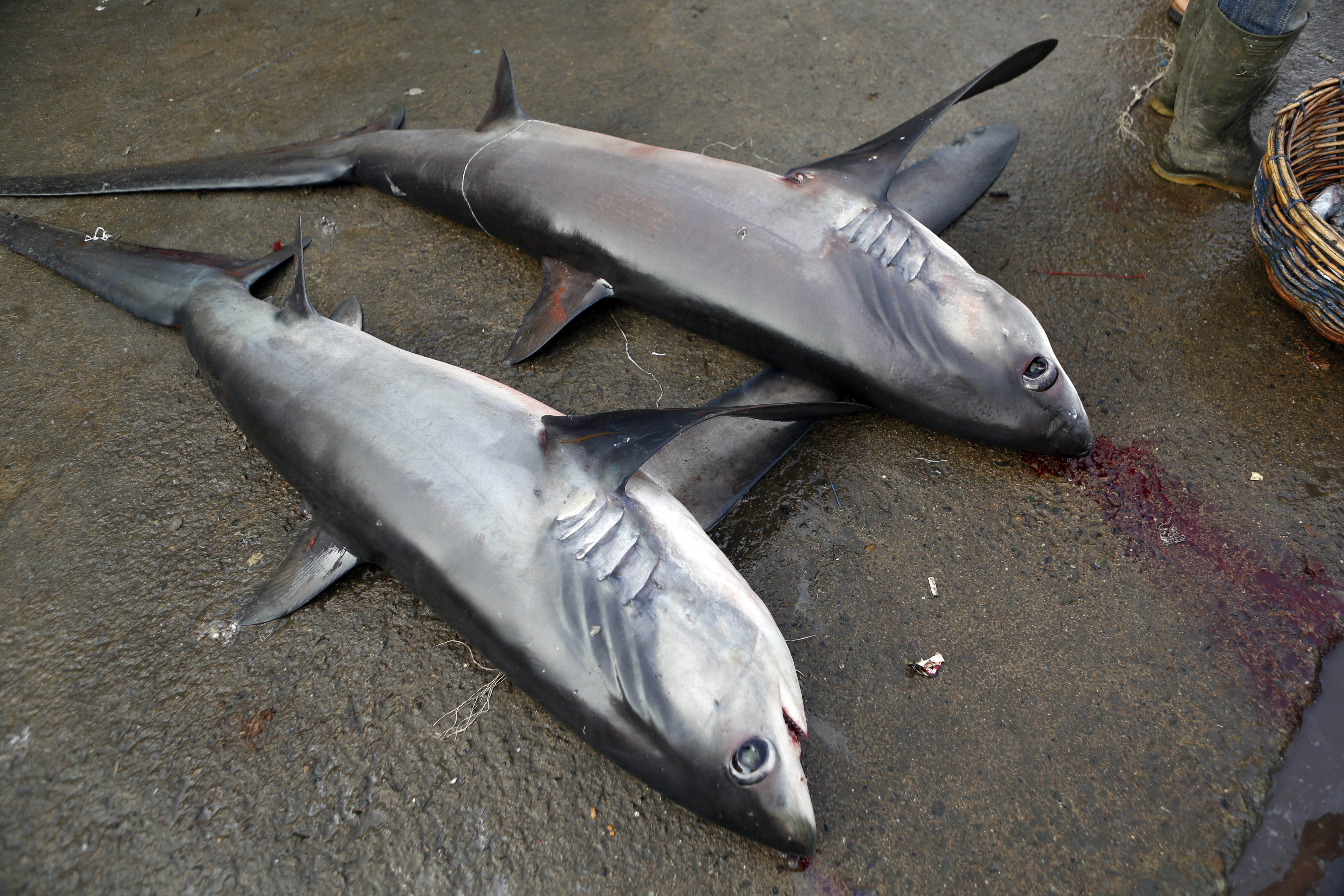 The makings of a shark fin soup.