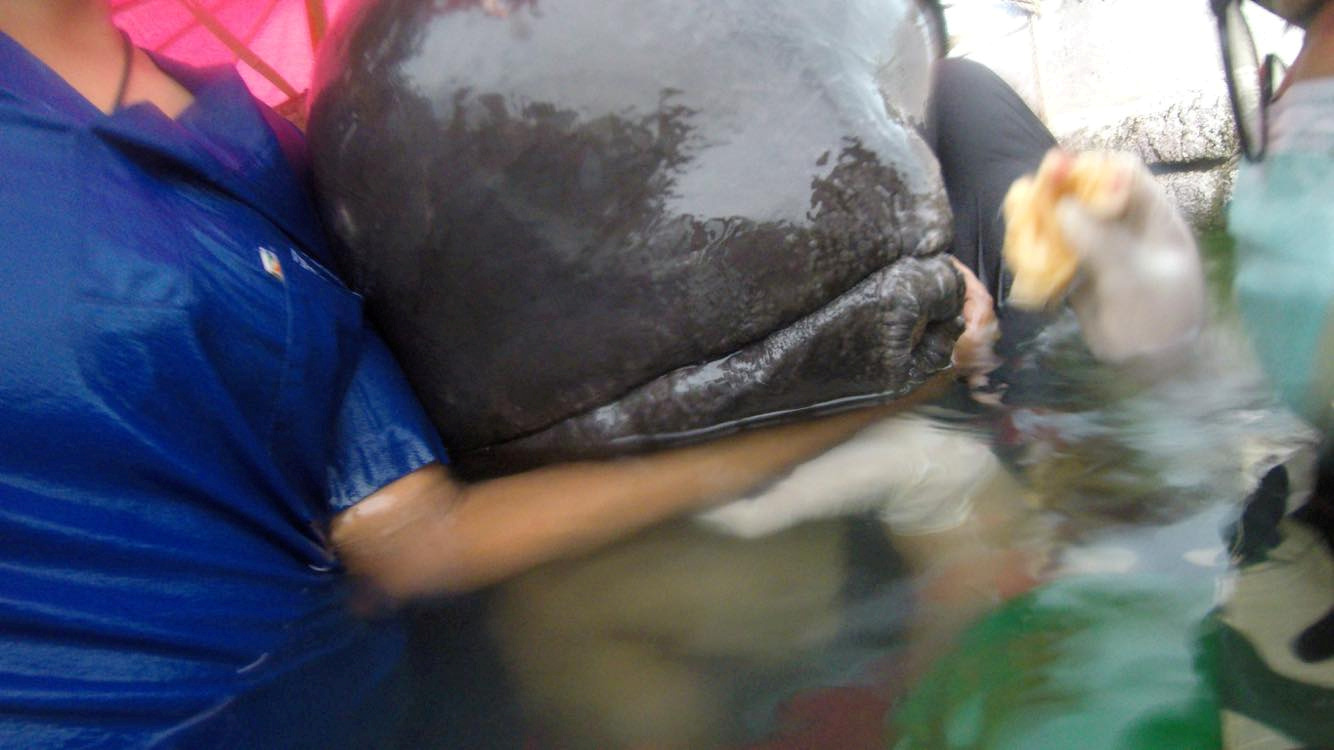 The pilot whale was found in distress in a canal in Songkhla, Thailand.