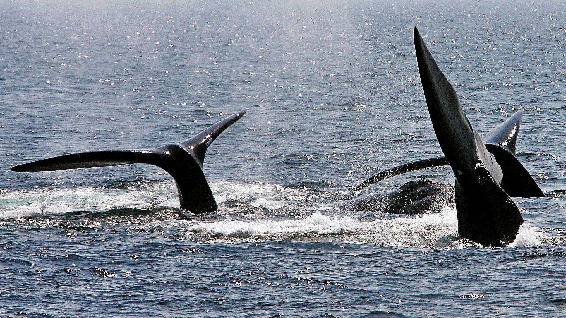 North Atlantic right whales now number fewer than 500.