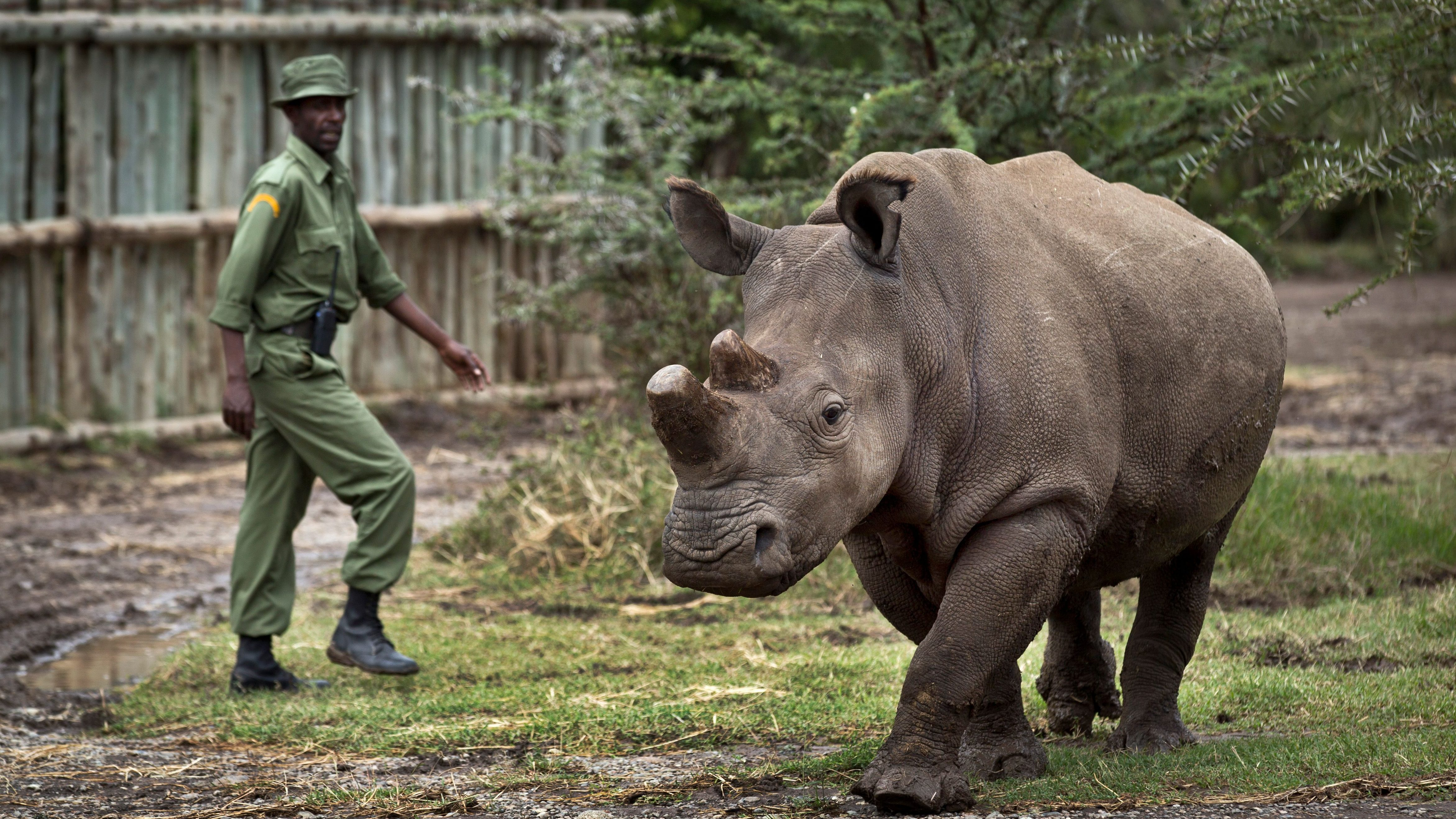 One of two remaining northern white rhinoceroses walks with her guide. She is infertile.