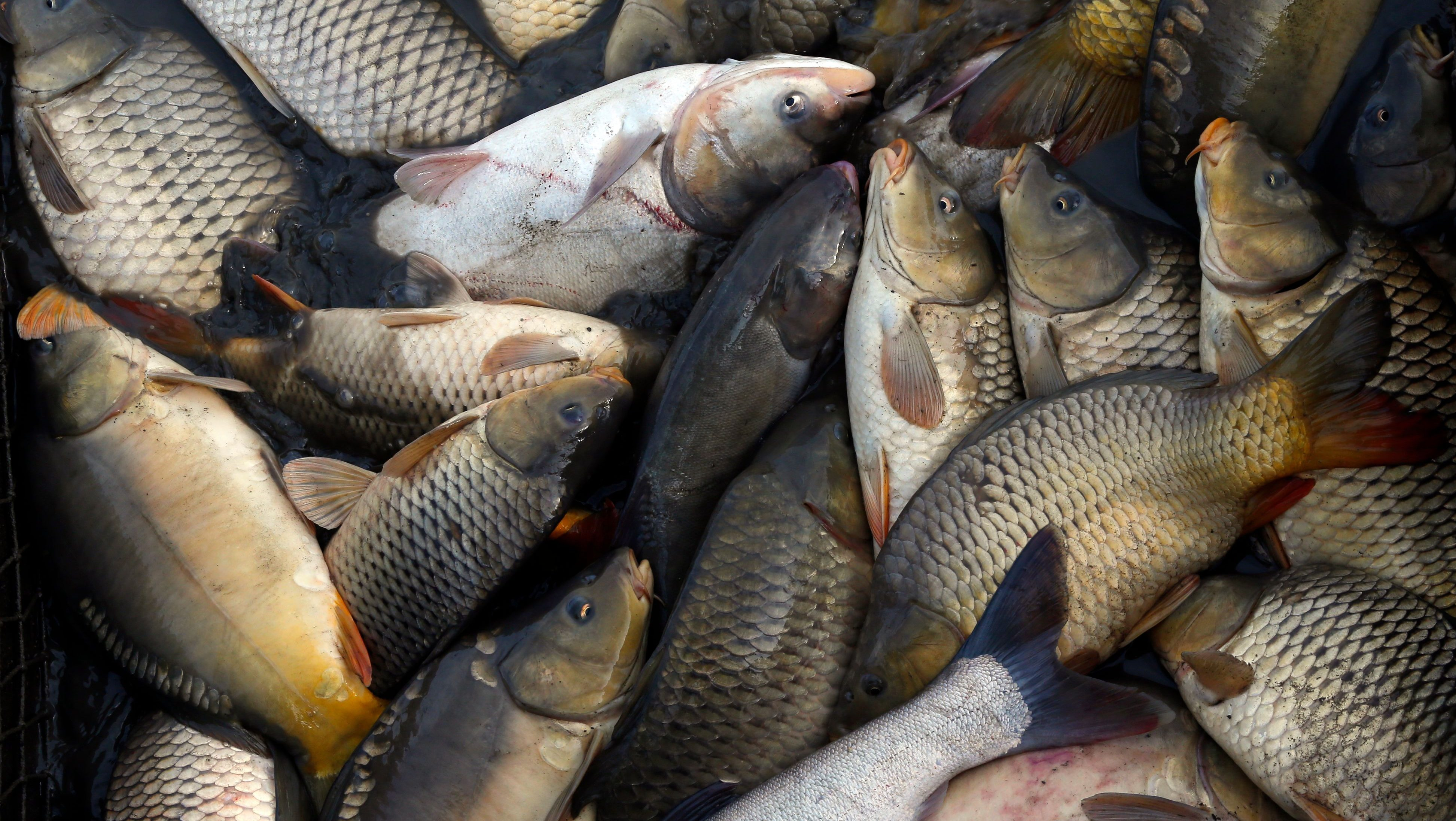 A pile of fish collected from a net is seen during harvesting at one of Europe's biggest freshwater fishing firms in the Great Hungarian plain in Hortobagy, east from Budapest November 6, 2014. Picture taken on November 6, 2014. REUTERS/Laszlo Balogh (HUNGARY  - Tags: ANIMALS ENVIRONMENT FOOD)   - LR1EAB70SHJ8B