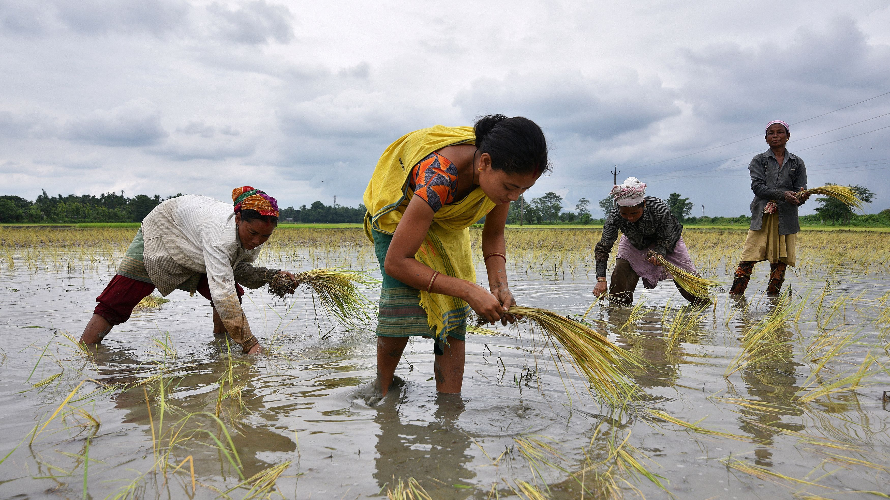 Women Plant Rice Saplings At A Paddy Field In A