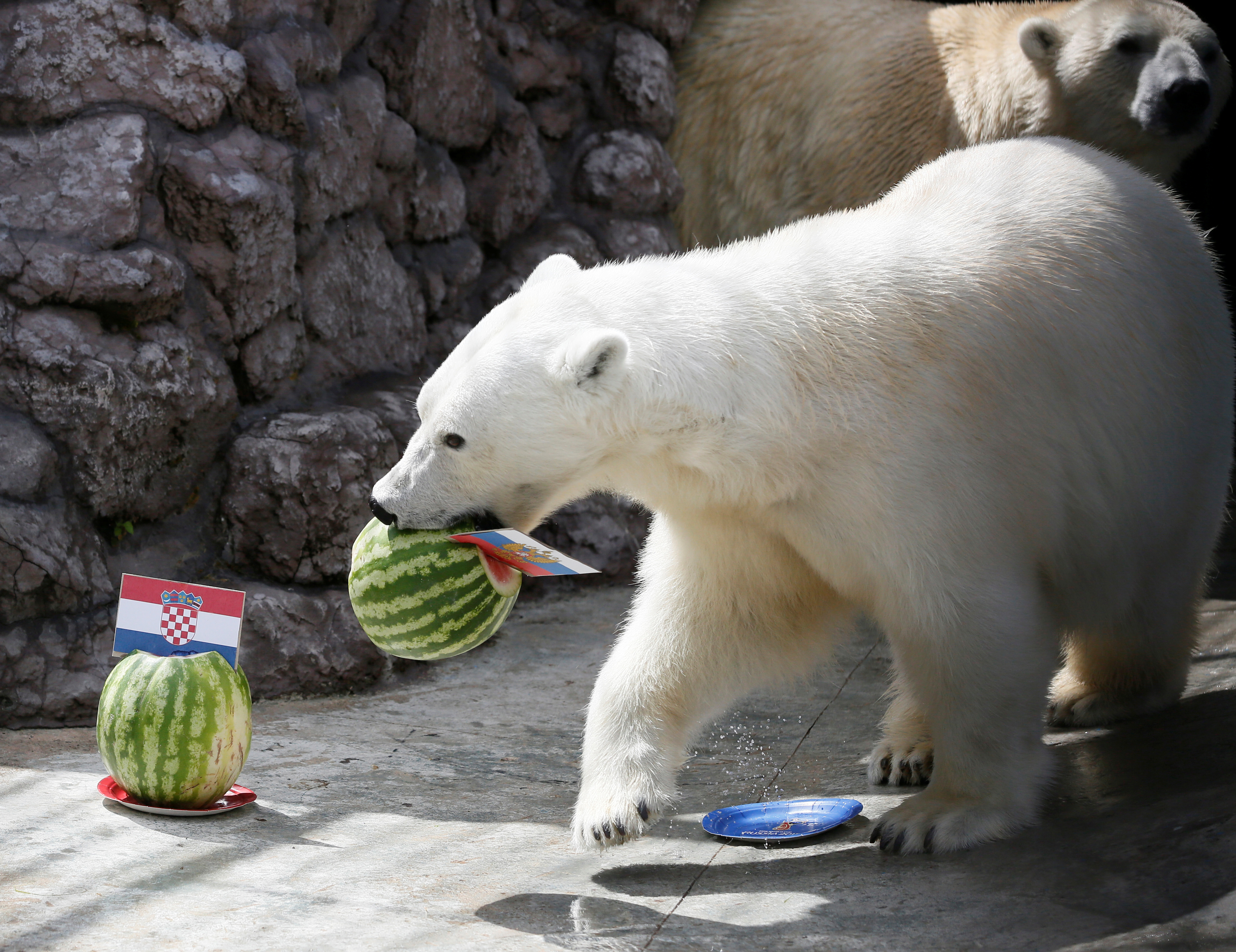 Aurora, an eight-year-old female polar bear, chooses Russia while attempting to predict the result of the soccer World Cup match between Croatia and Russia during an event at the Royev Ruchey Zoo in Krasnoyarsk, Russia July 5, 2018. REUTERS/Ilya Naymushin - RC11065B2DC0