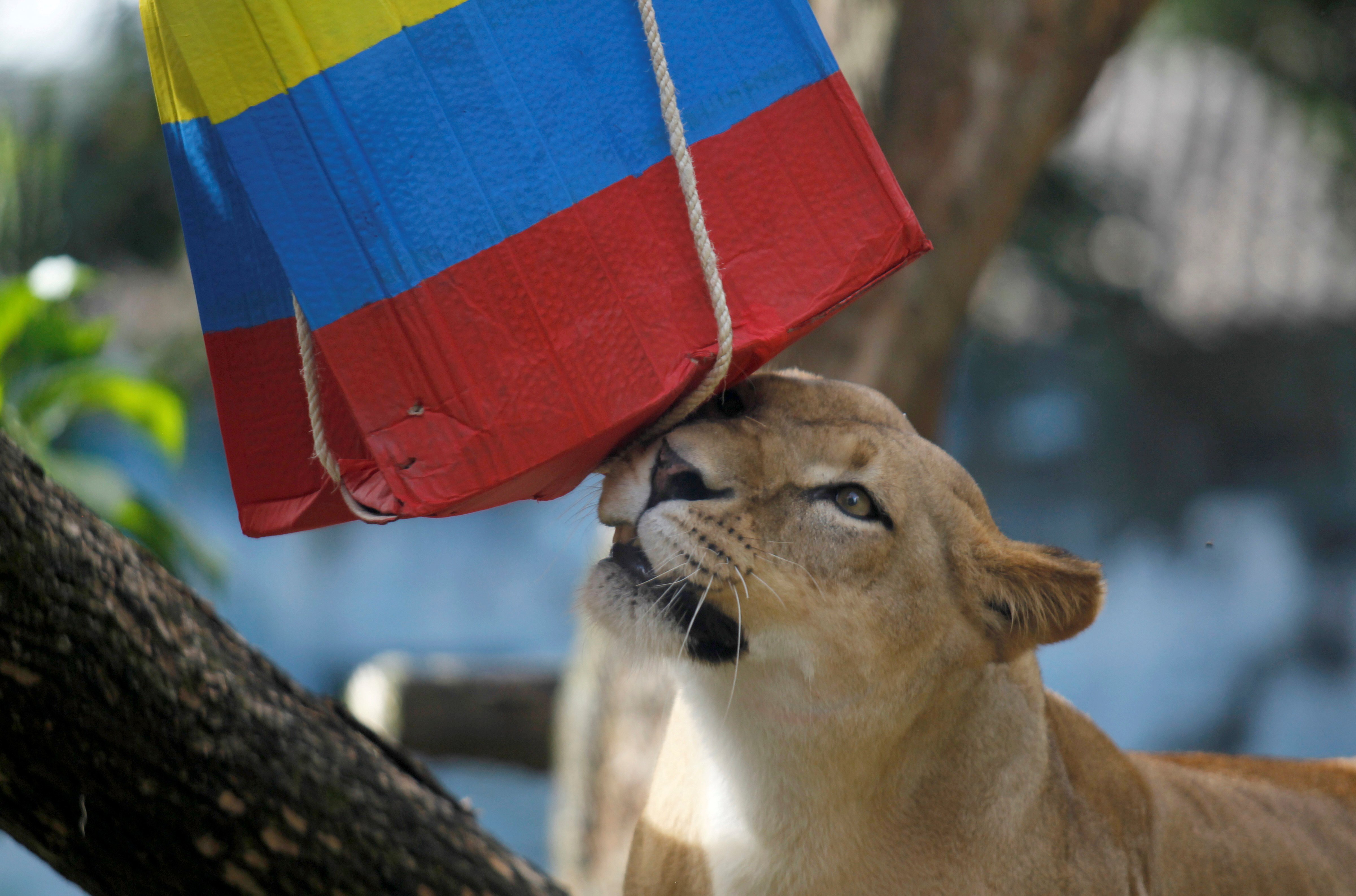 Lioness Valentina is used at Medellin zoo in Colombia, in an attempt to predict the result of the upcoming group H 2018 FIFA World Cup match between Colombia and Japan held in Russia, June 15, 2018. REUTERS/Fredy Builes - RC1CABB4A070