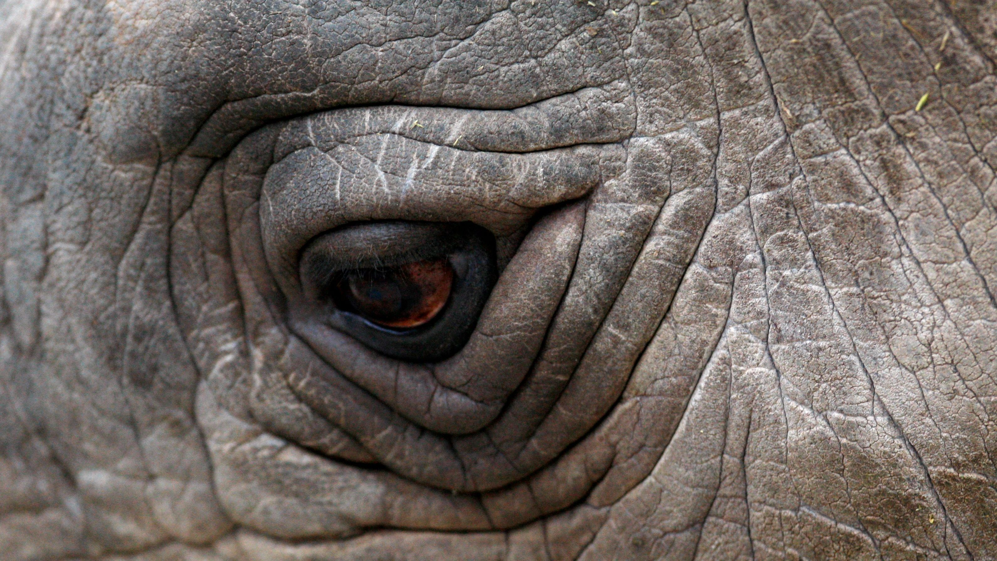 A close-up view of an eye of a Northern White Rhino named Sudan at the zoo in Dvur Kralove nad Labem in the Czech Republic December 16, 2009. Eight white rhinos live in captivity - six at the zoo in Dvur Kralove and two in the San Diego zoo - and experts believe they are among the last of the species left on the planet, as the rest of the population were killed by war and the loss of their habitat in Africa. Officials at the Czech zoo said four of the rhinos will be moved to the Ol Pejeta reservation in Kenya on Saturday in an effort to conserve the population.