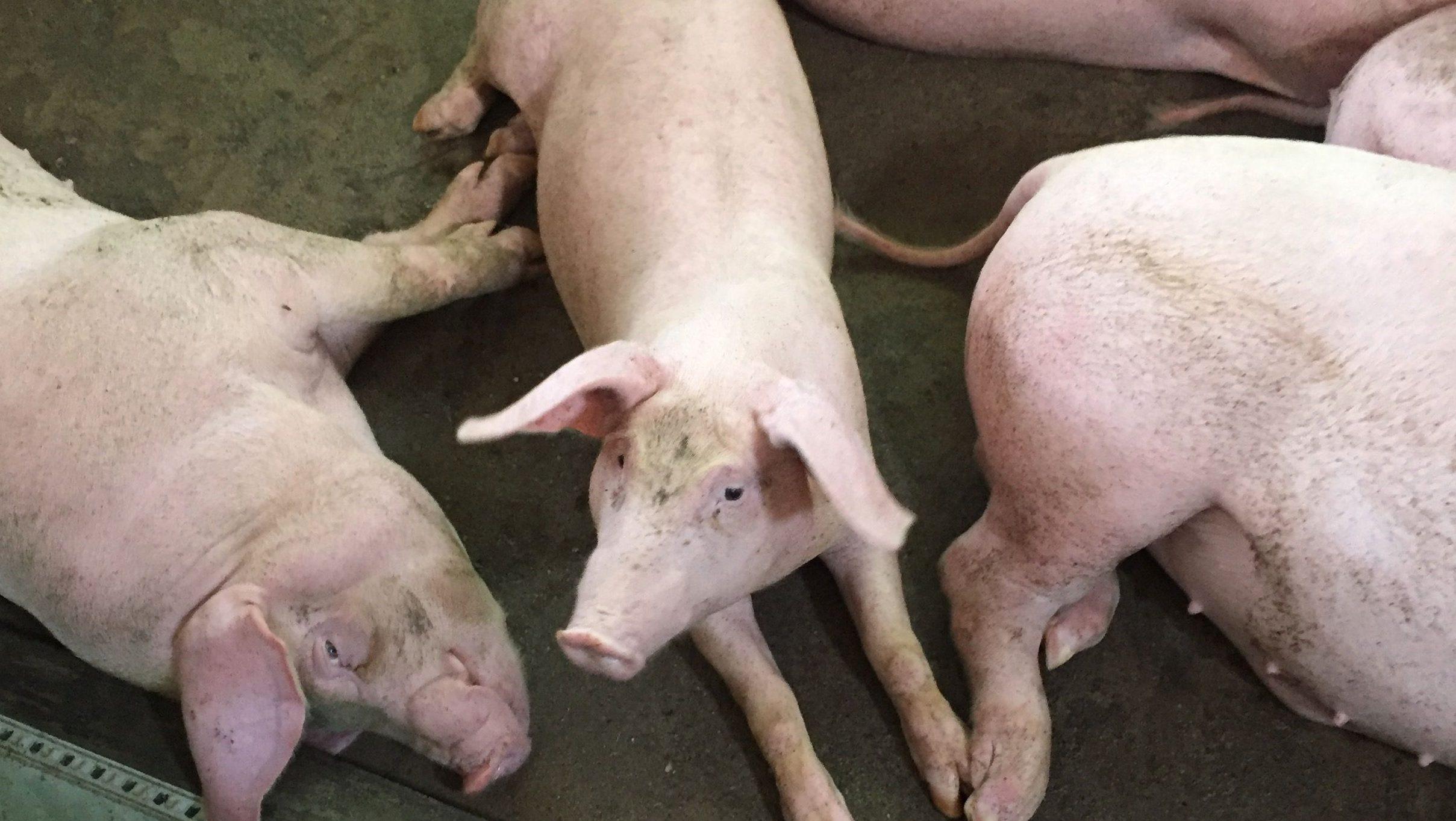 The pigs Le thi Vin raises in Hanoi, Vietnam