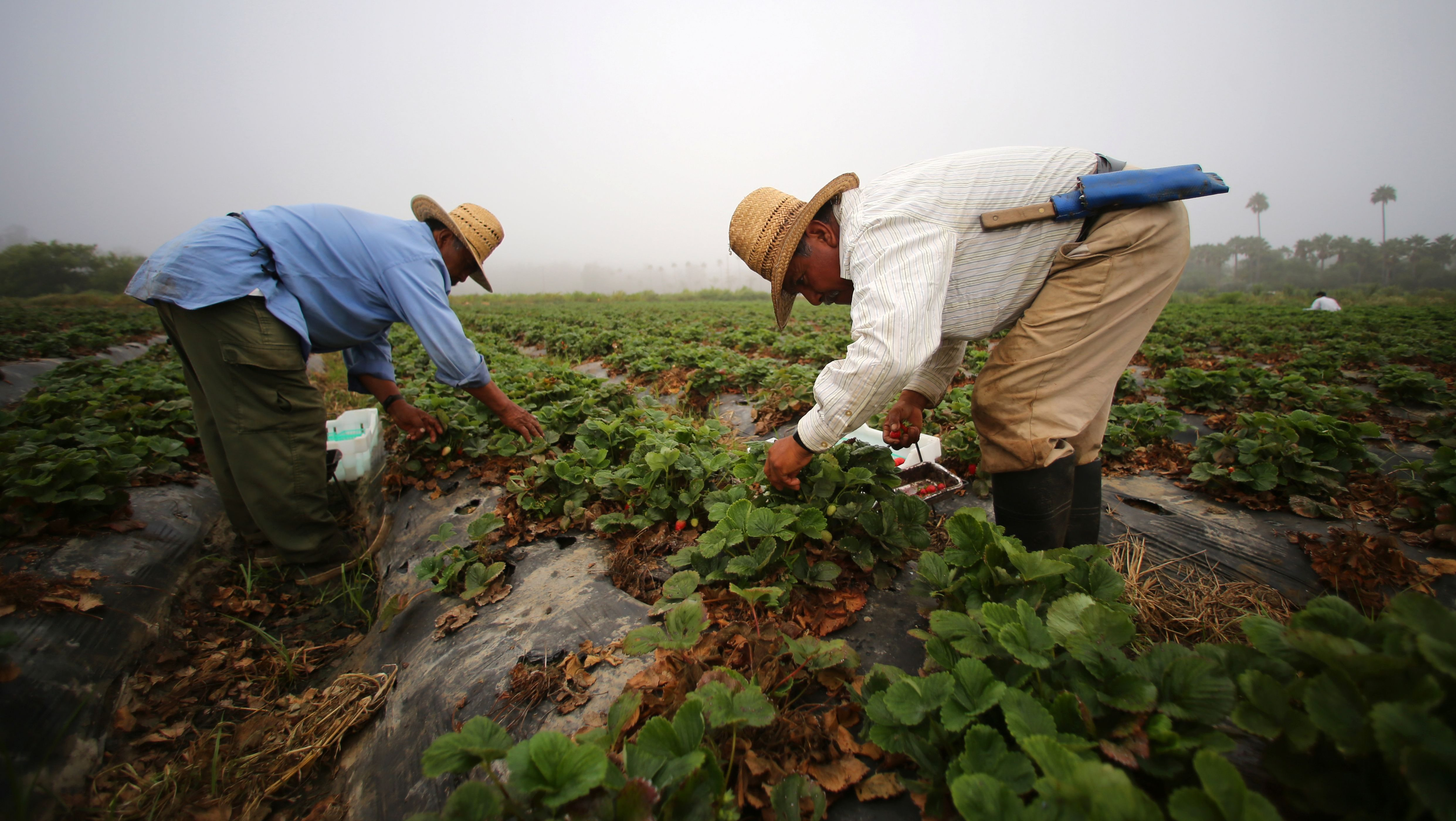 Farm workers pick strawberries on a farm in California in the early morning. Scott Hutchins is an entomologist, and has spent his career in the pesticide and seed division at Dow Agriscience.