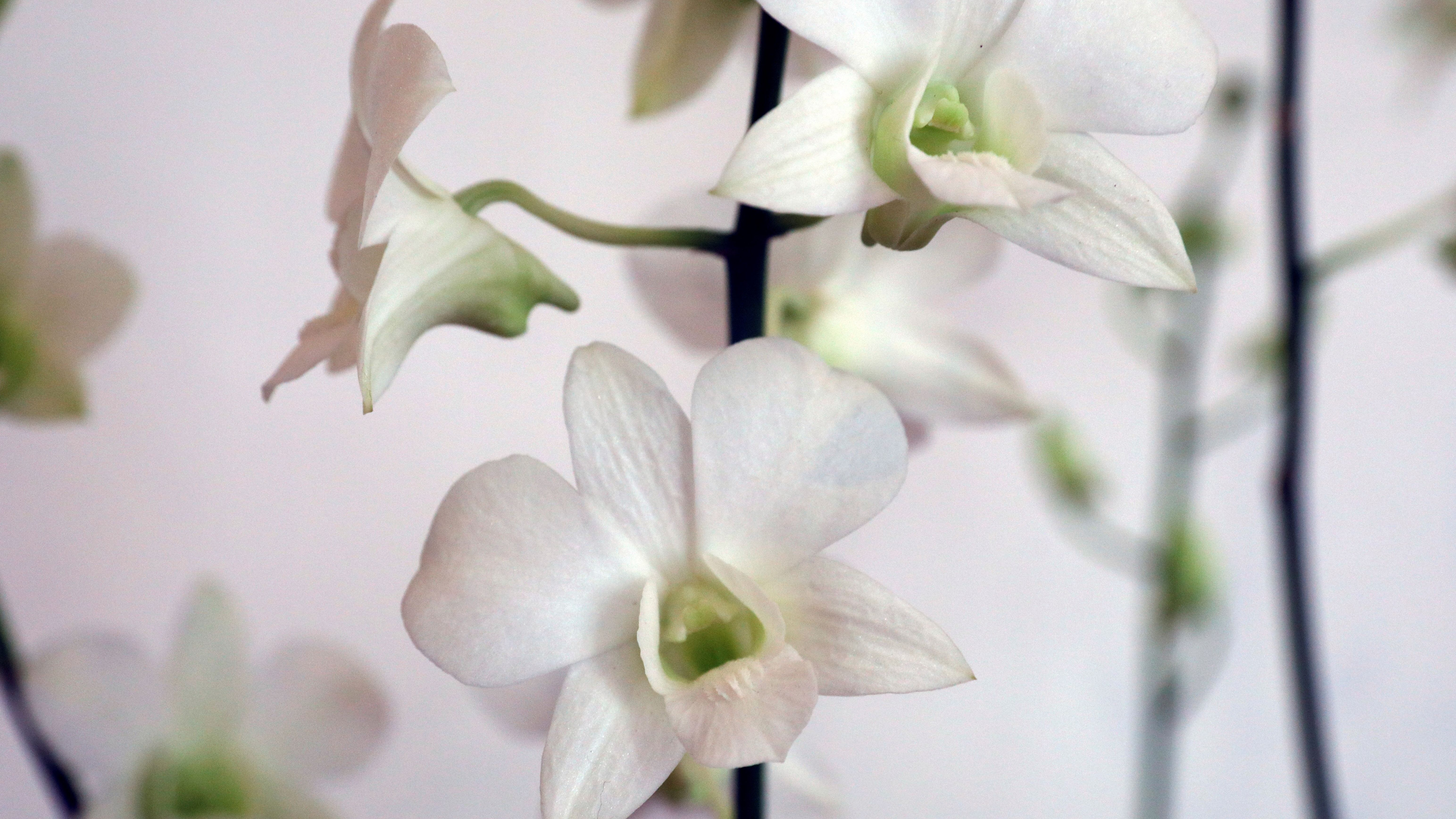 three white orchids on a branch against a white background