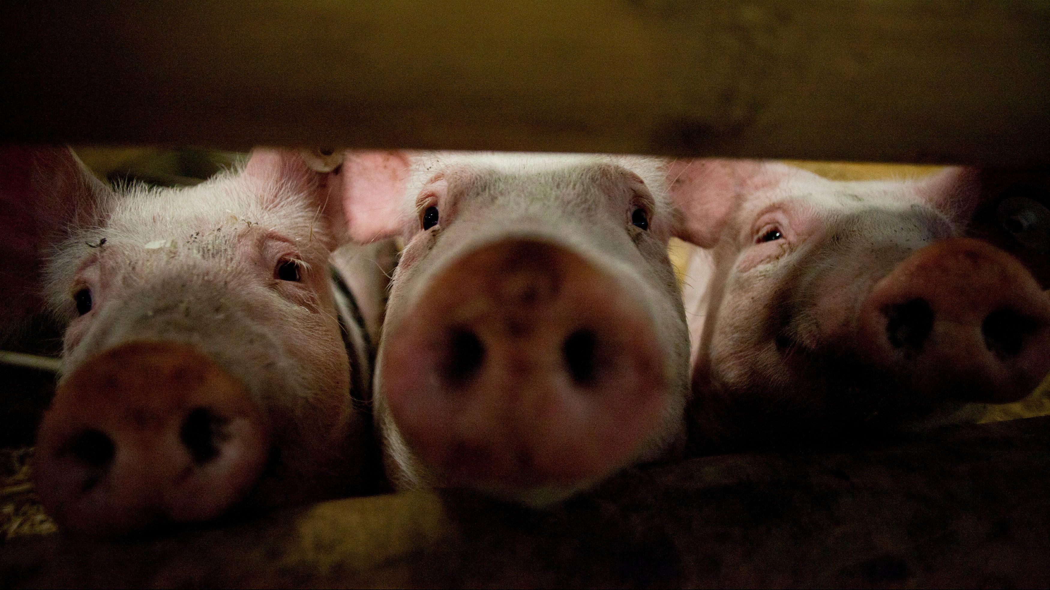 Pigs stick their noses through a gate in the animal pavilion at Green Week Agriculture and Food fair in Berlin
