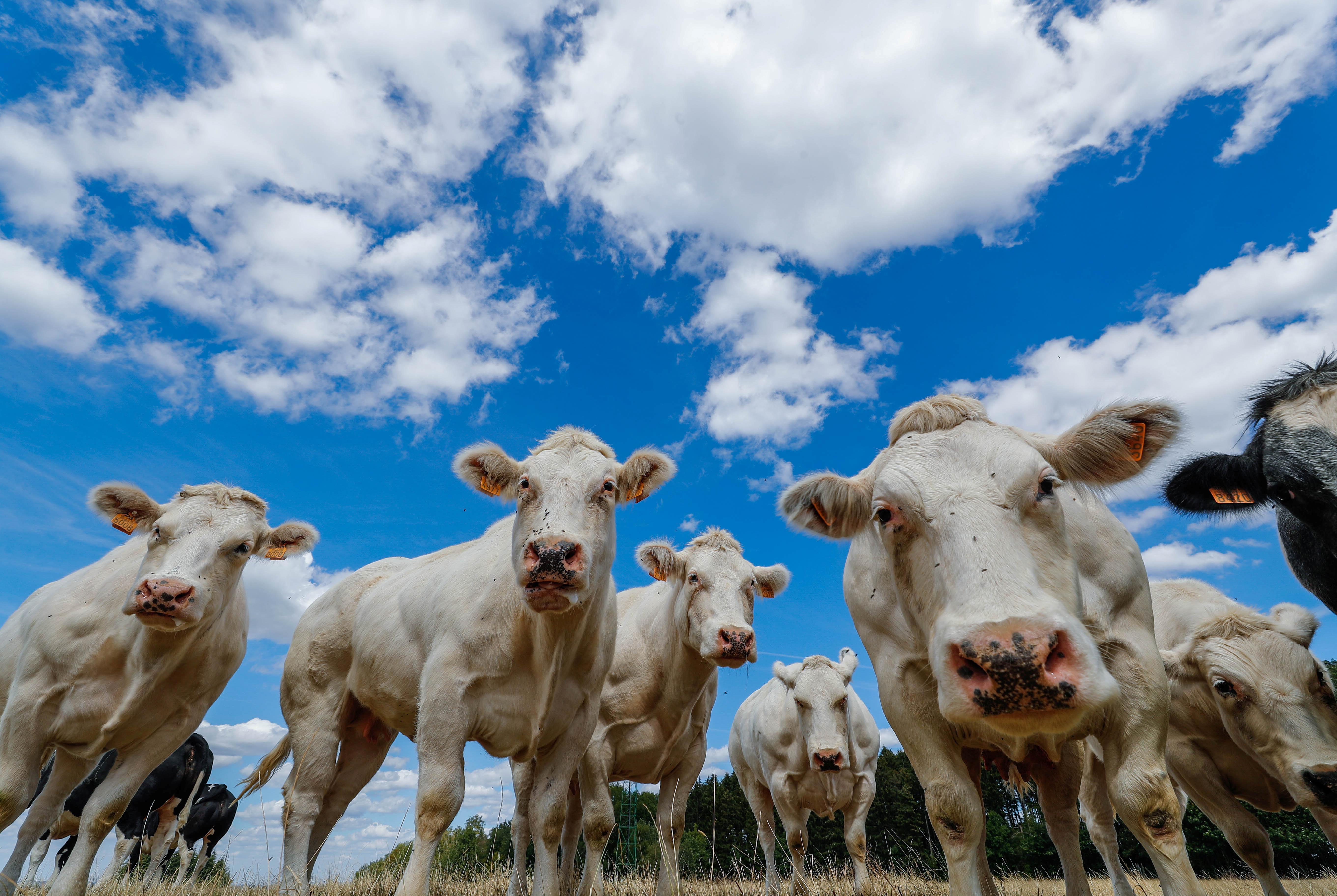 Alexandria Ocasio-Cortez put cows in the political spotlight — Quartz