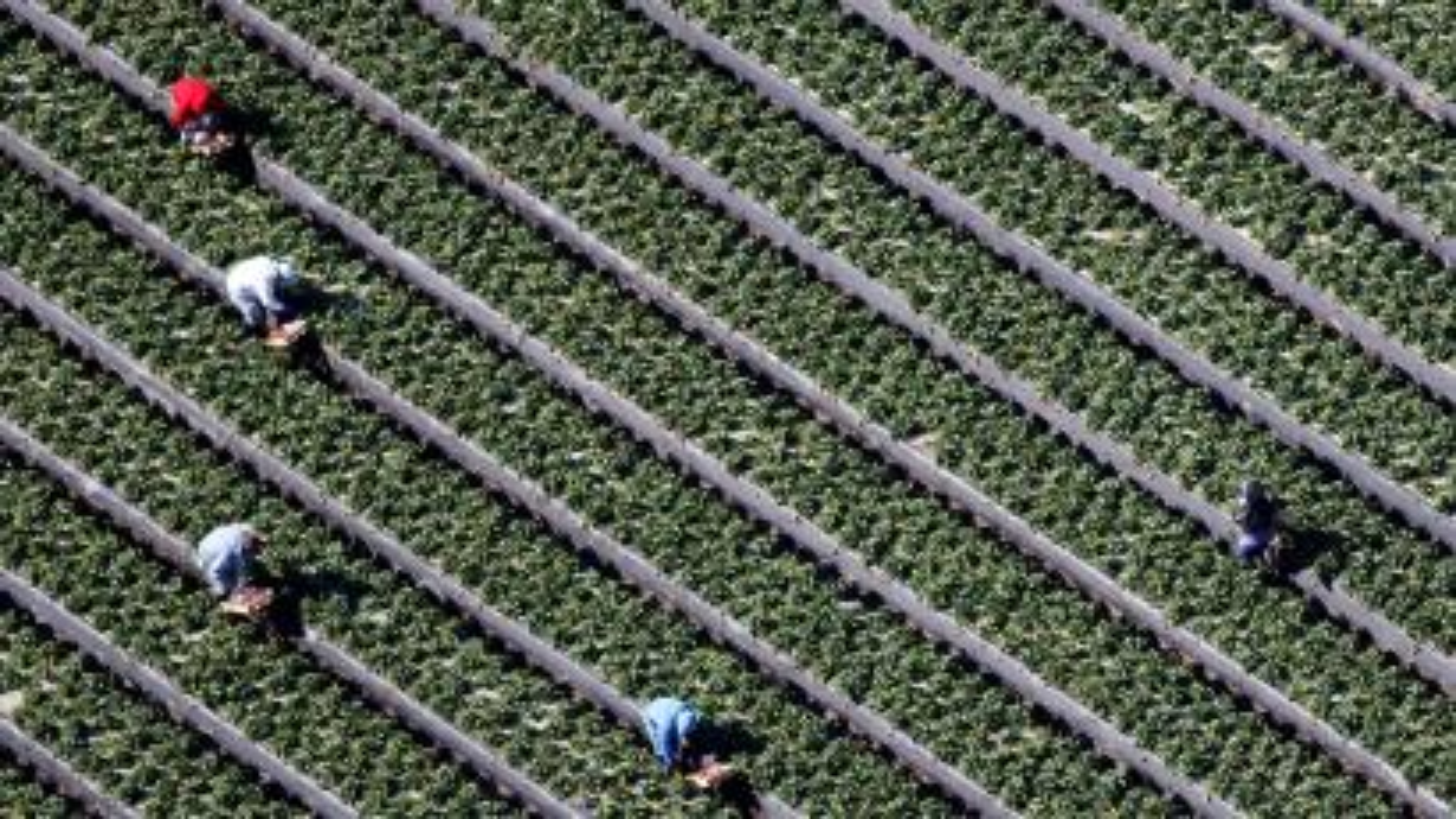Workers pick strawberries in a field on a farm in Oxnard
