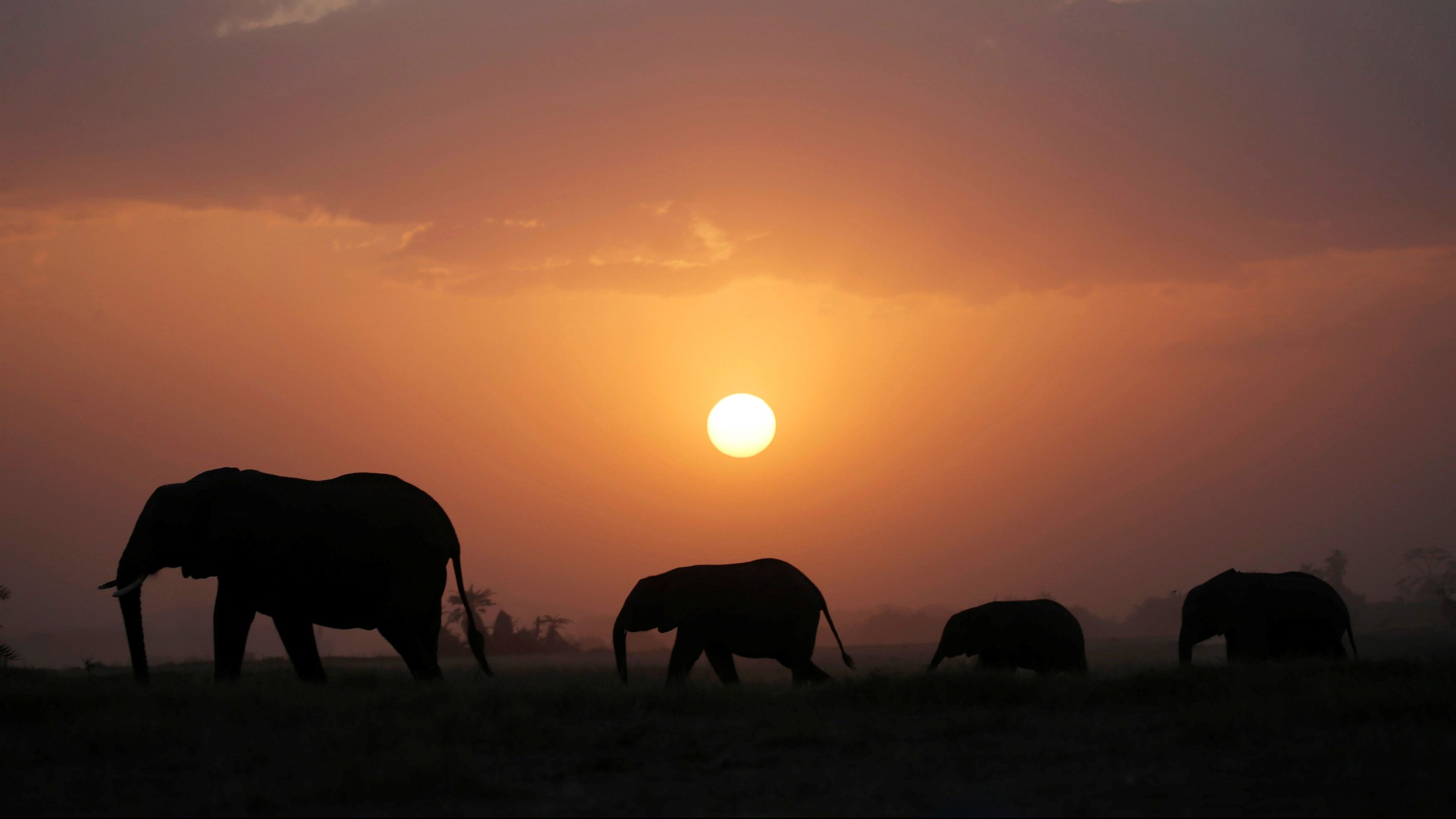 Elephant walk during sunset in Amboseli National park