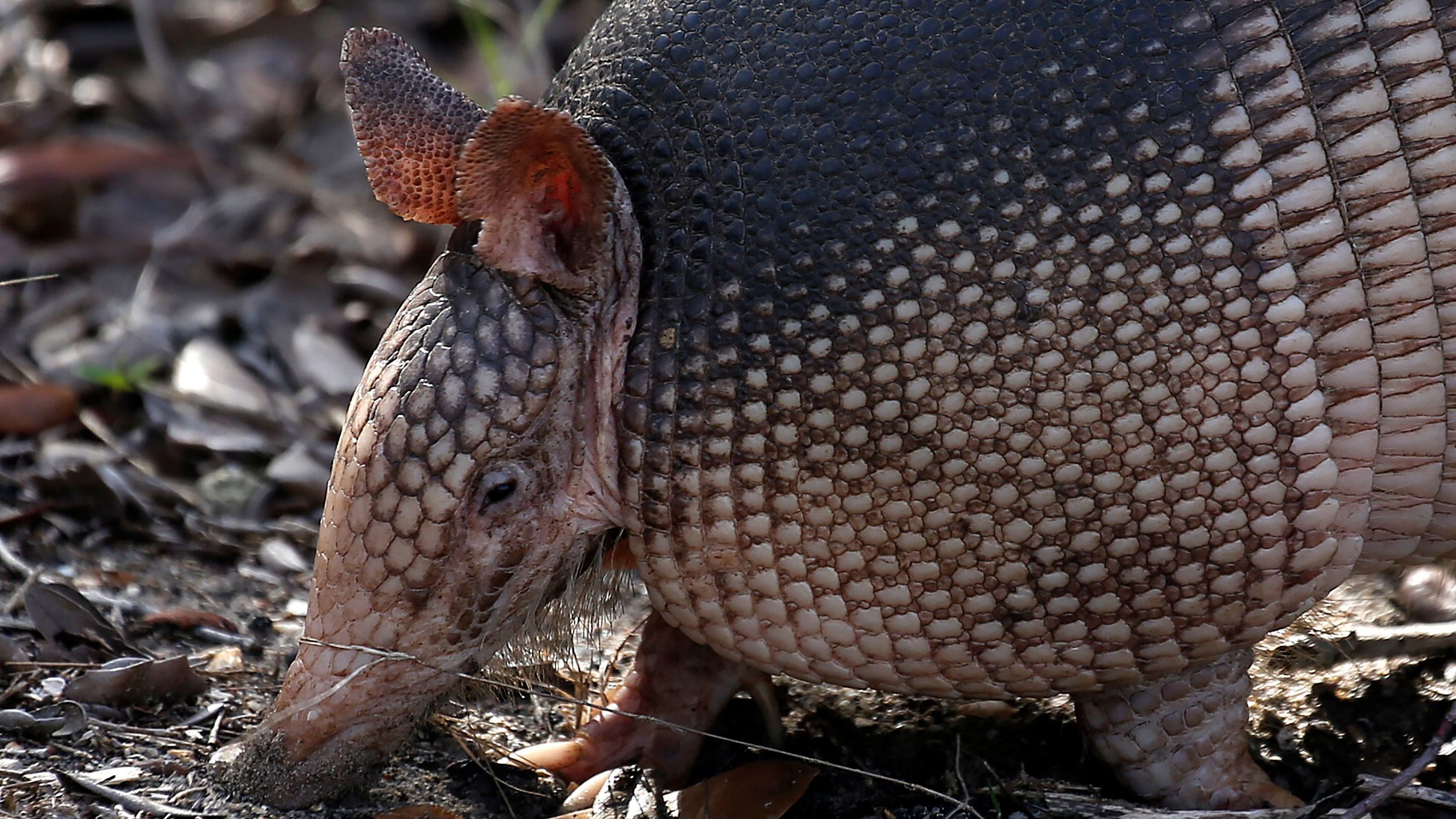 An armadillo forages for food on the ground in St Augustine