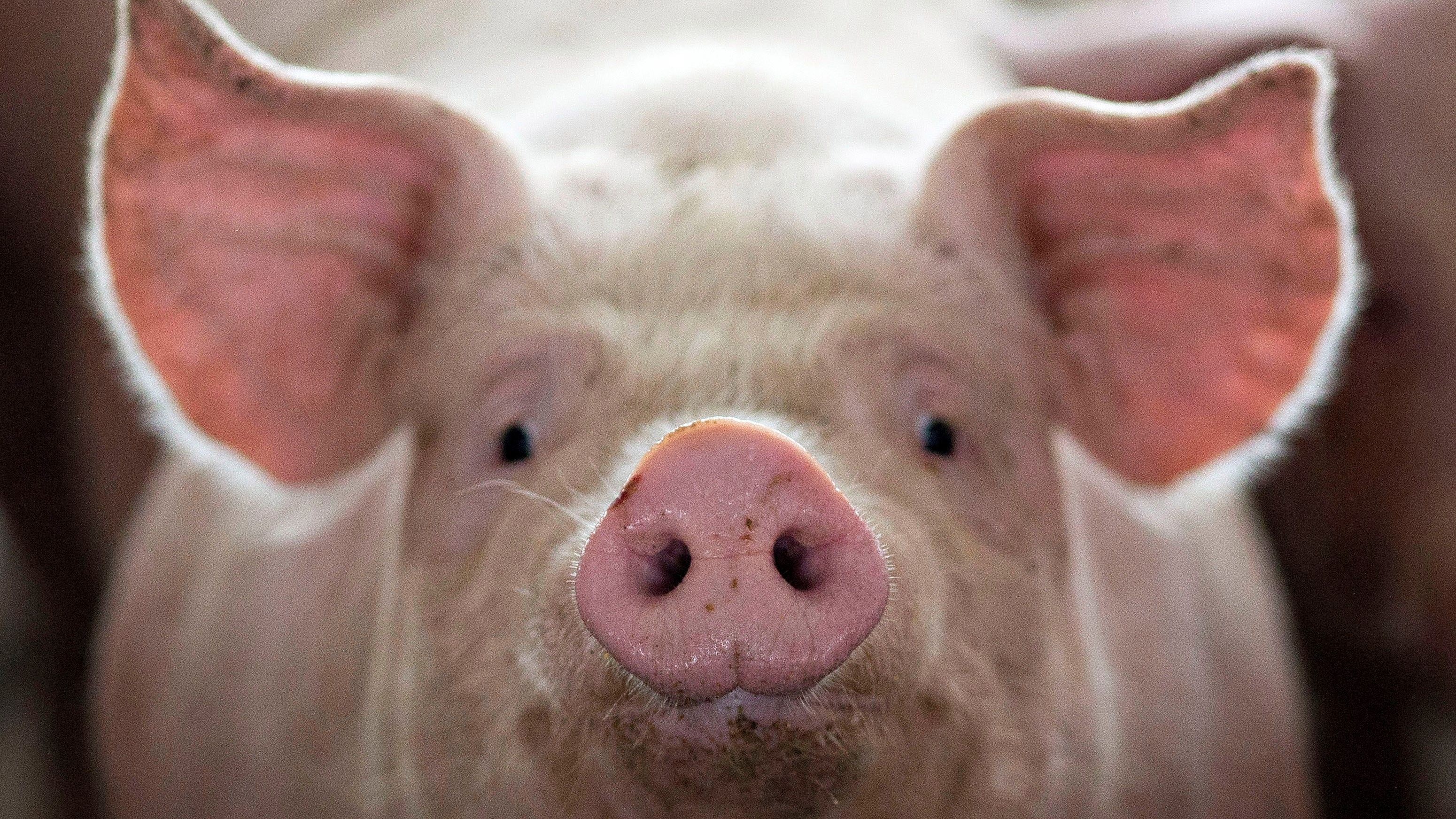A pig, nearing market weight, stands in a pen at Duncan Farms in Polo, Illinois, U.S. April 9, 2018. Picture taken April 9, 2018. REUTERS/Daniel Acker TPX IMAGES OF THE DAY - RC1927A6CBE0