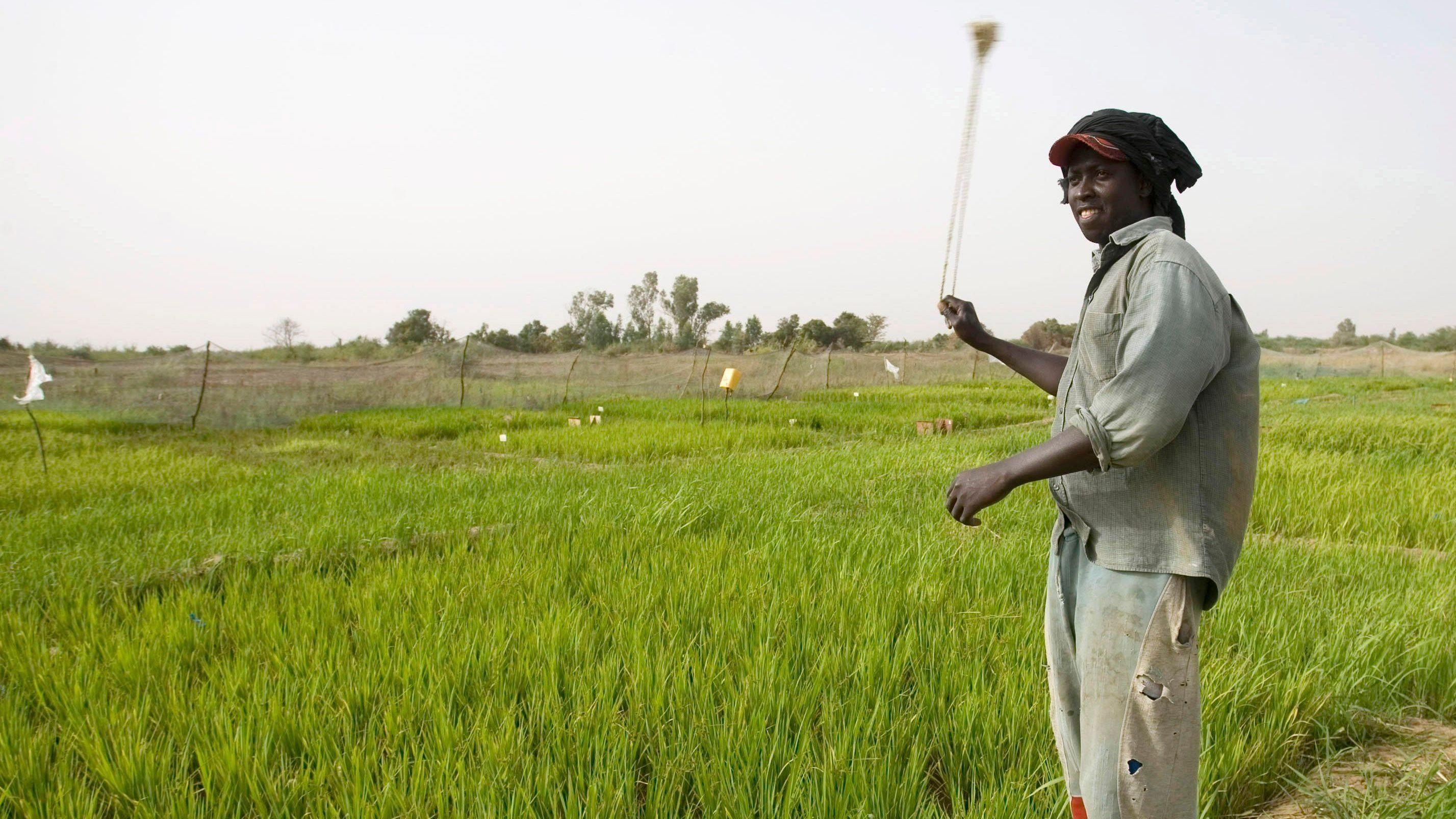 Senegal hopes it has the next quinoa